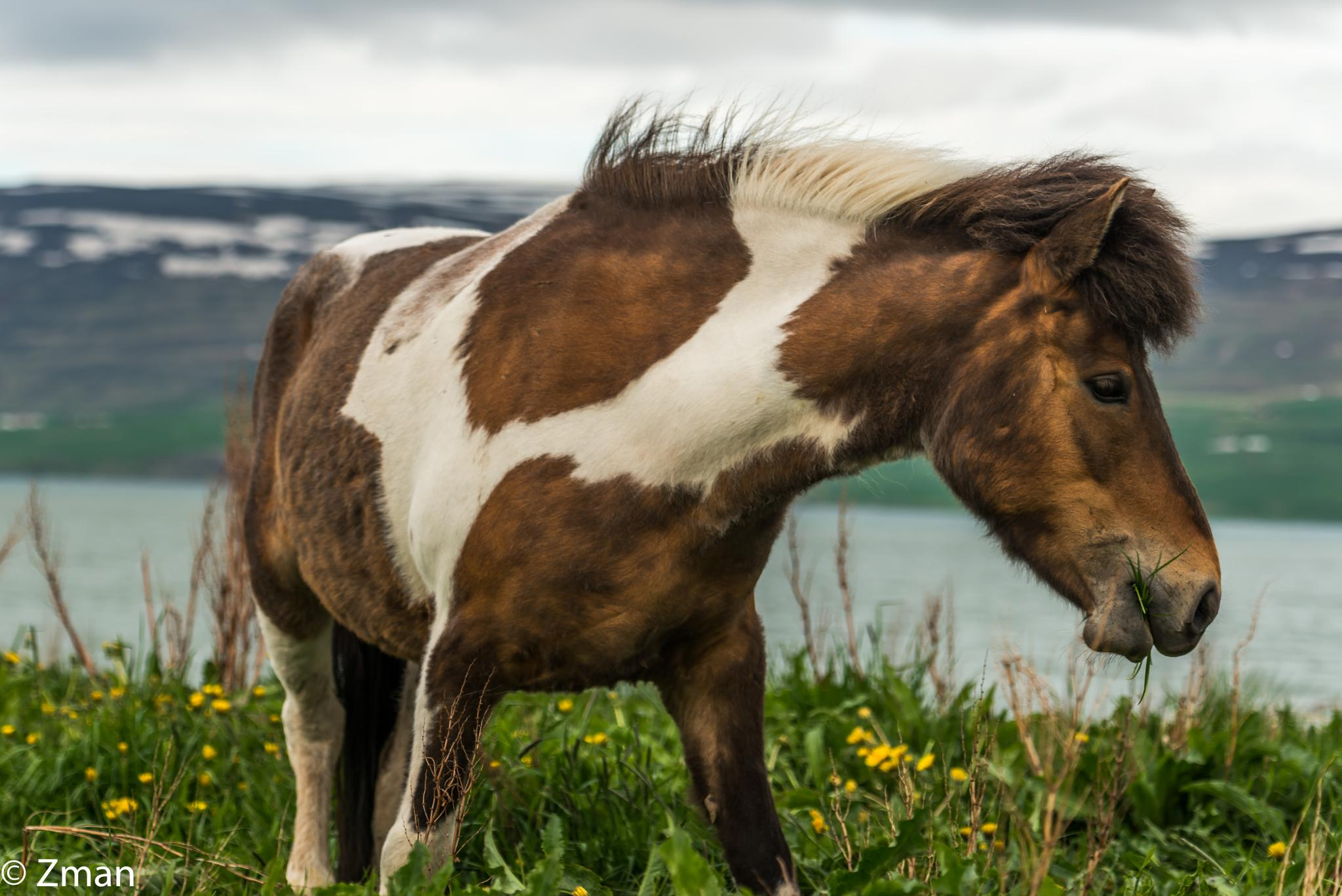 The Icelandic Horse 06 by muhammad.nasser.963