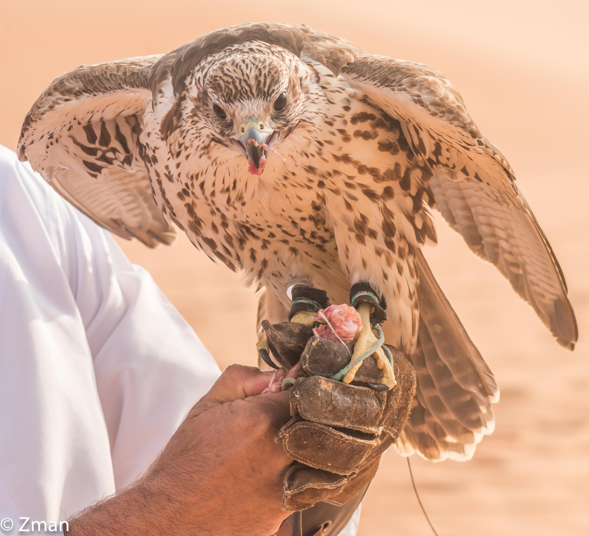 Photo in Animal #shaheen #falcon #trainer #training