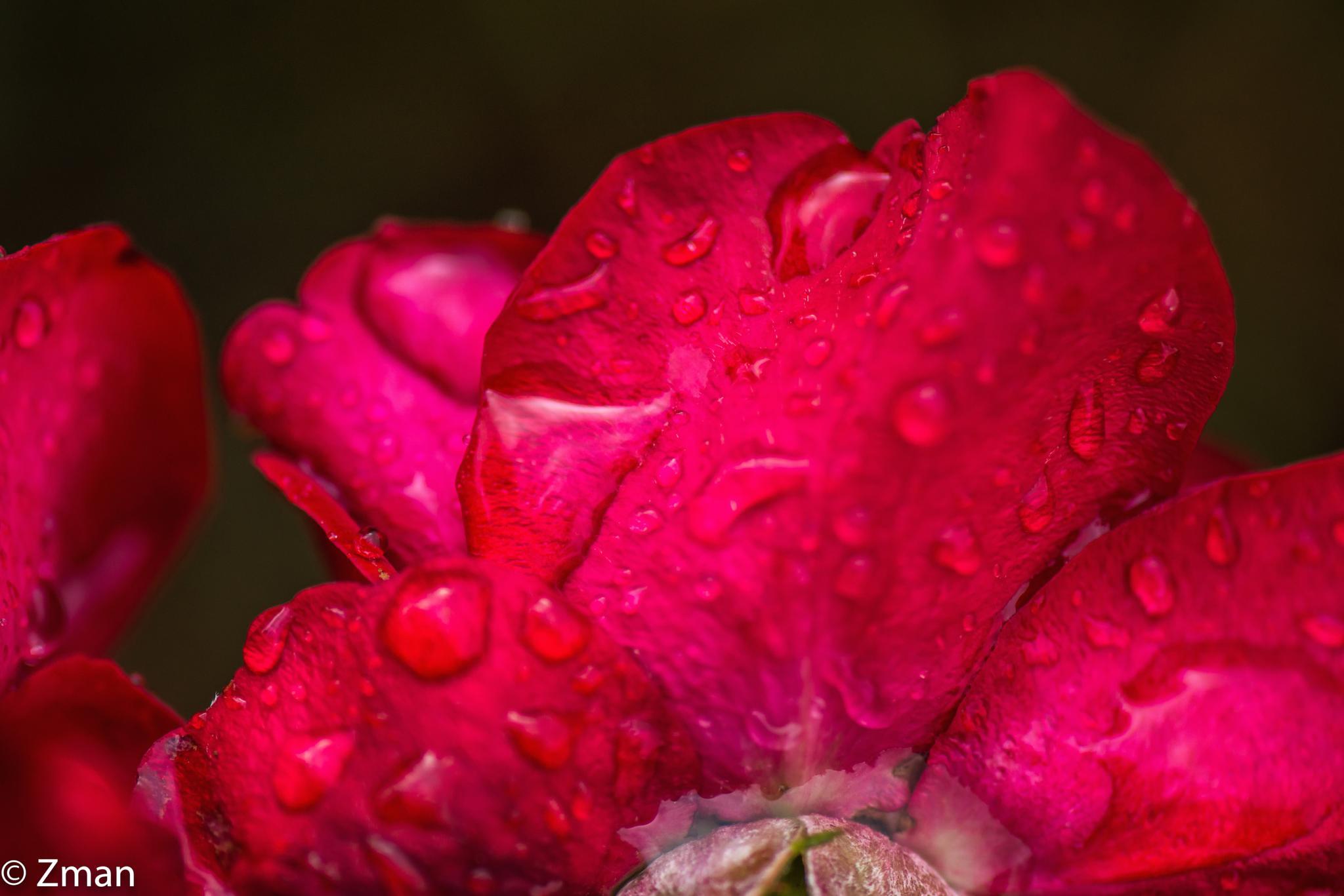 Red Petals by muhammad.nasser.963
