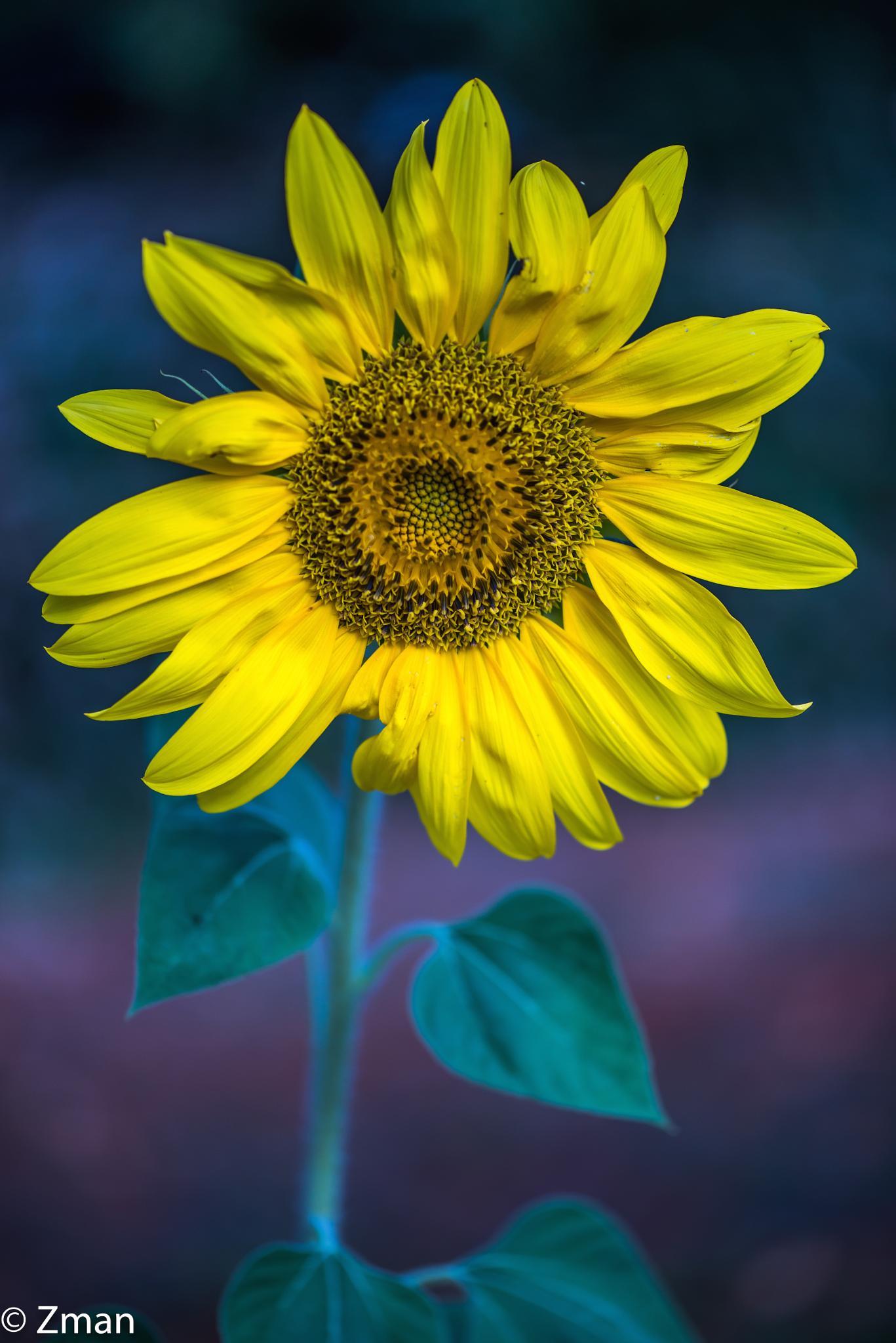 Lonely Sunflower by muhammad.nasser.963