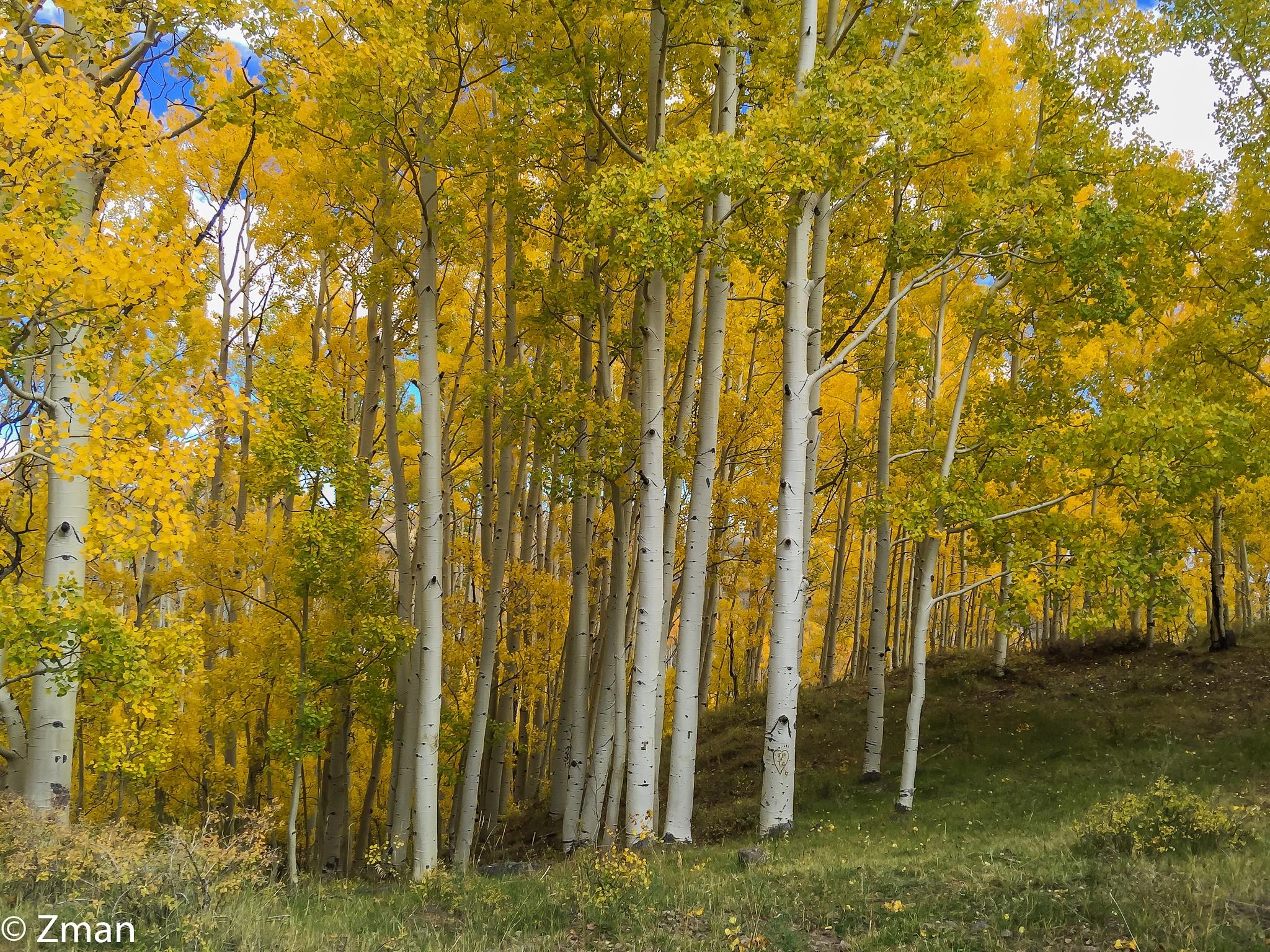 Aspen Trees by muhammad.nasser.963