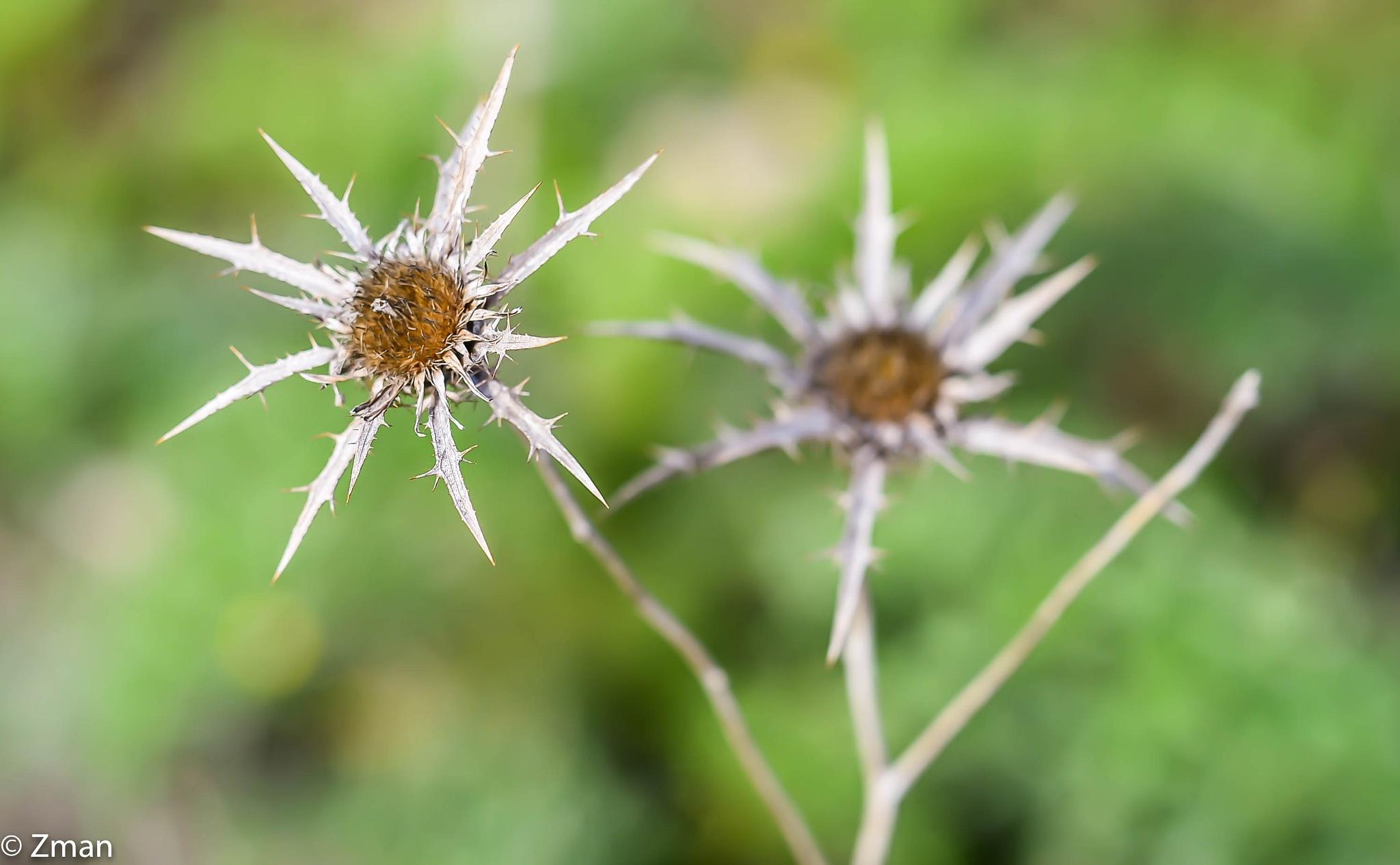 Spiky Flower by muhammad.nasser.963