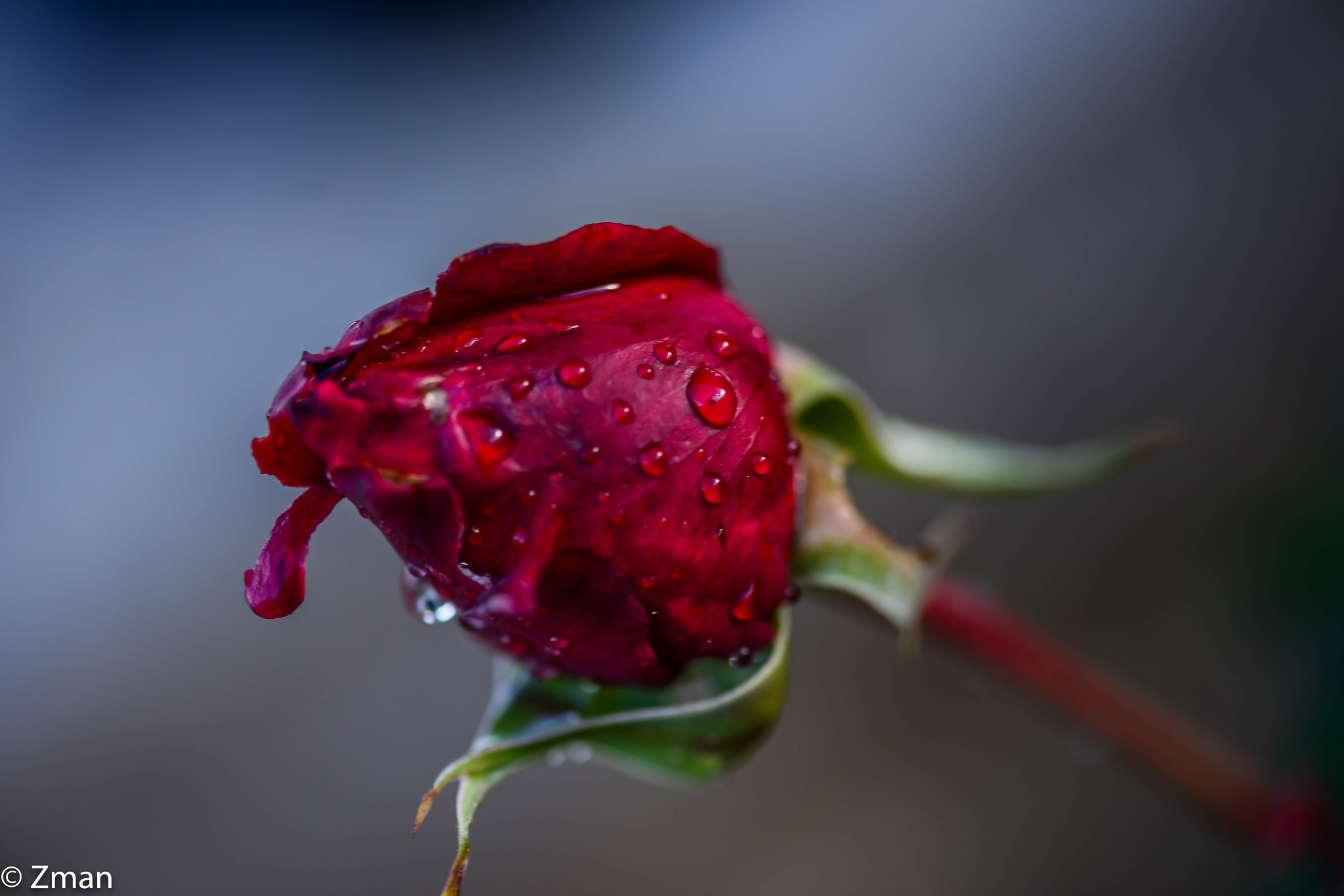 Red Rose under the Rain by muhammad.nasser.963