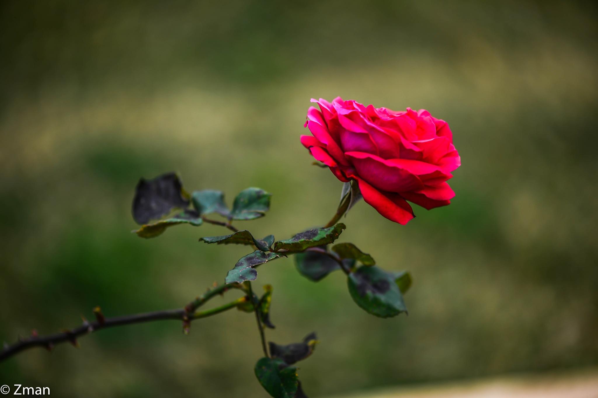 Red Rose by muhammad.nasser.963