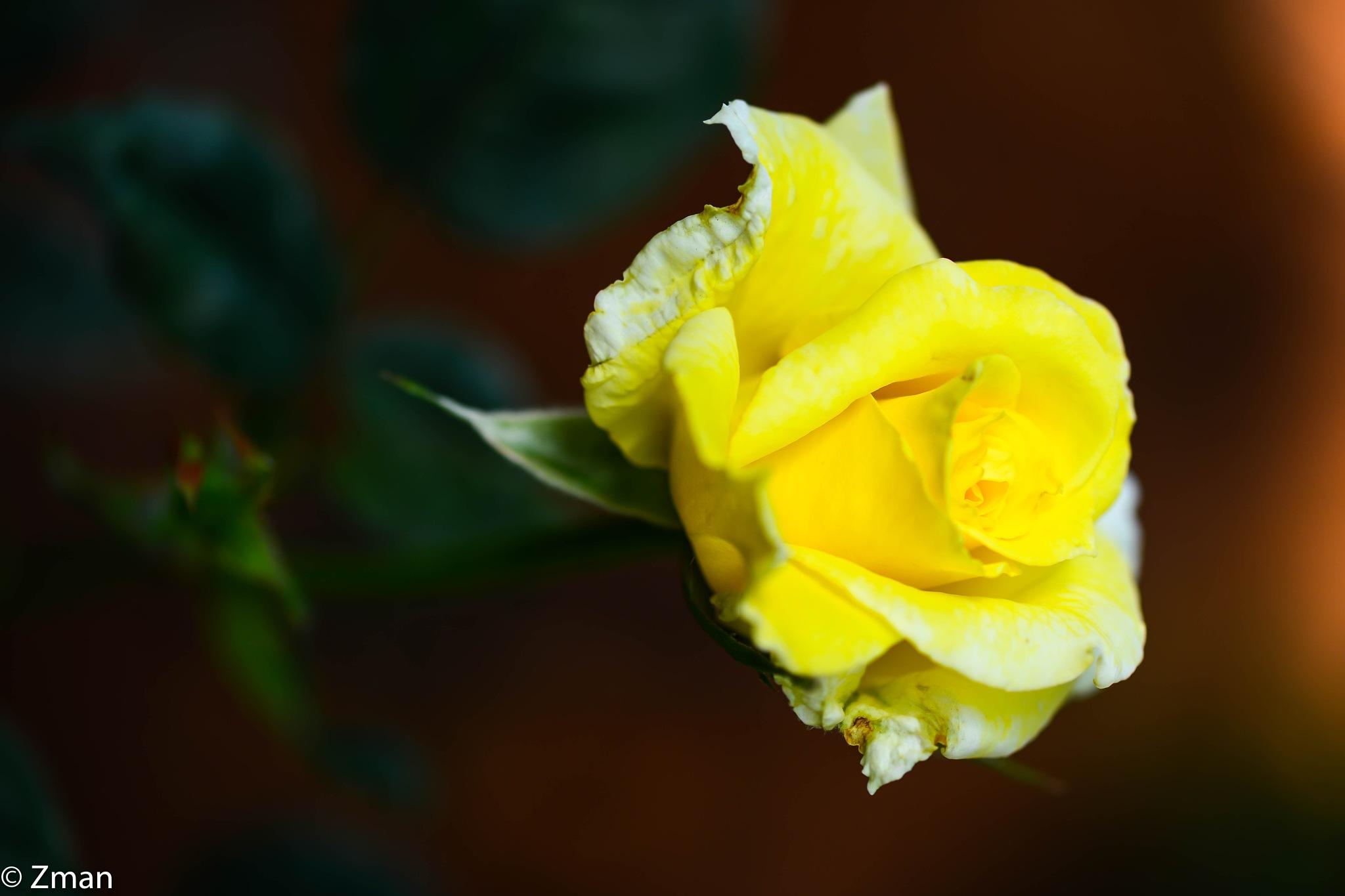 Pure Yellow by muhammad.nasser.963