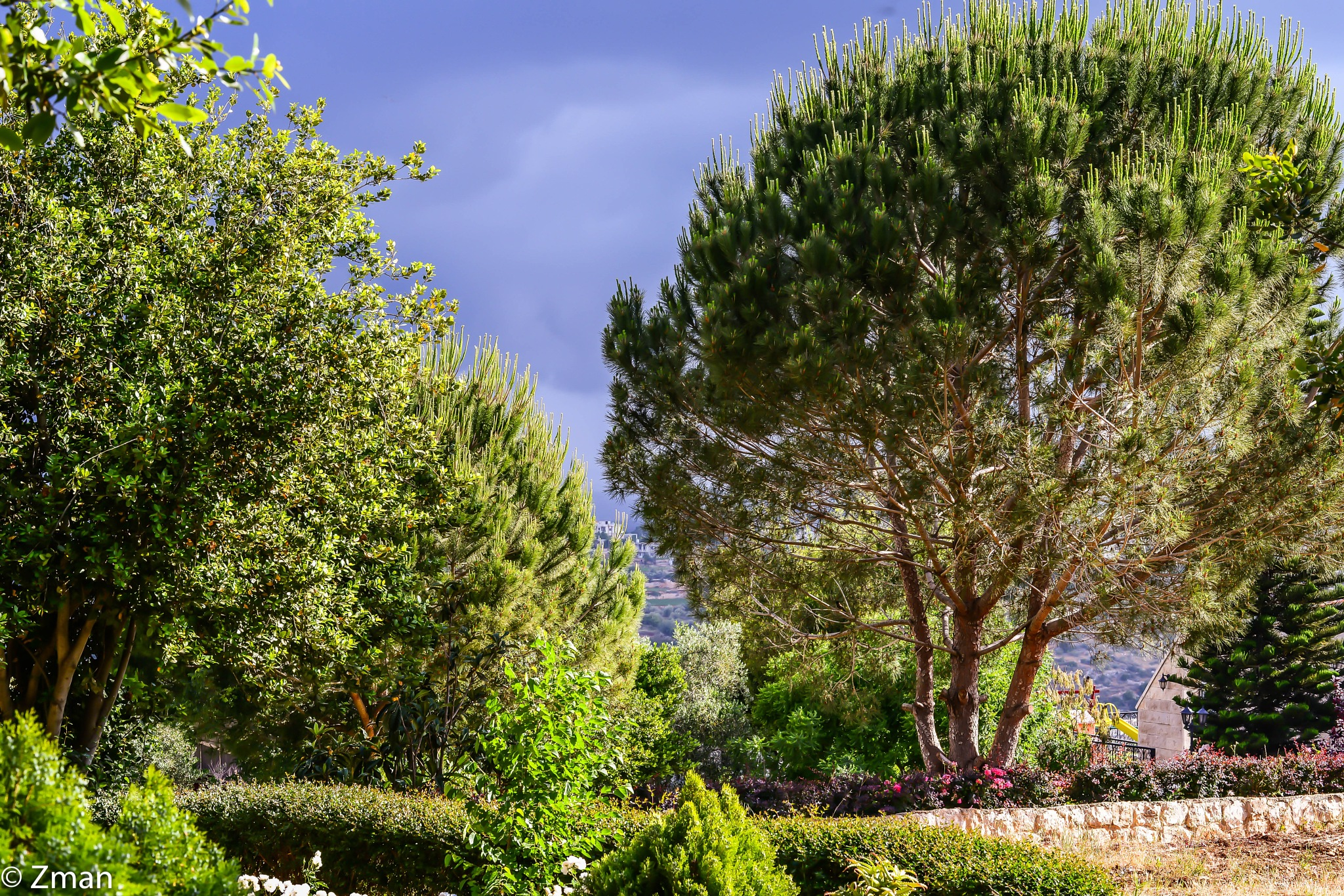 Our Pine Trees by muhammad.nasser.963