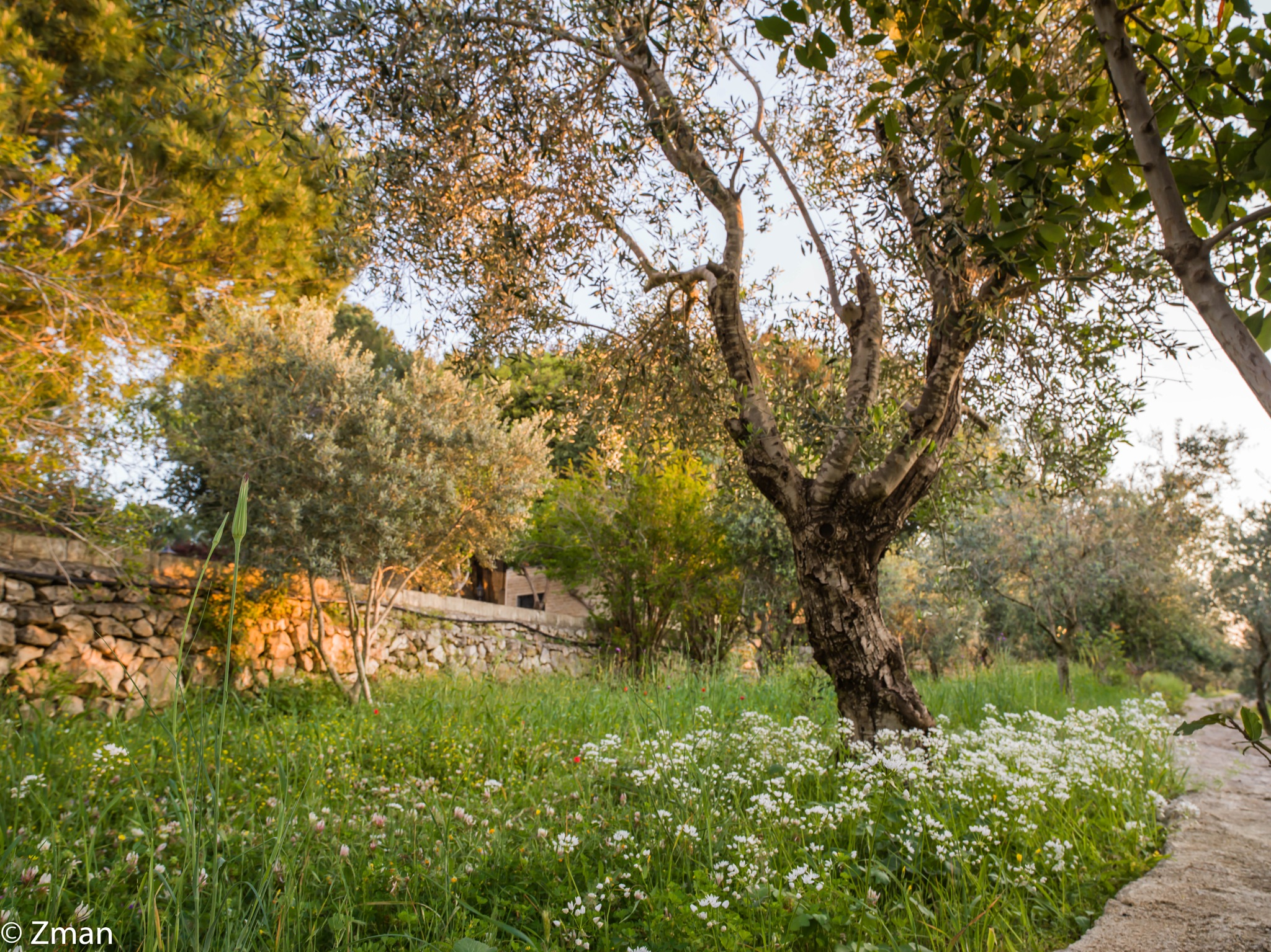 Olive Trees and Wild Flowers by muhammad.nasser.963