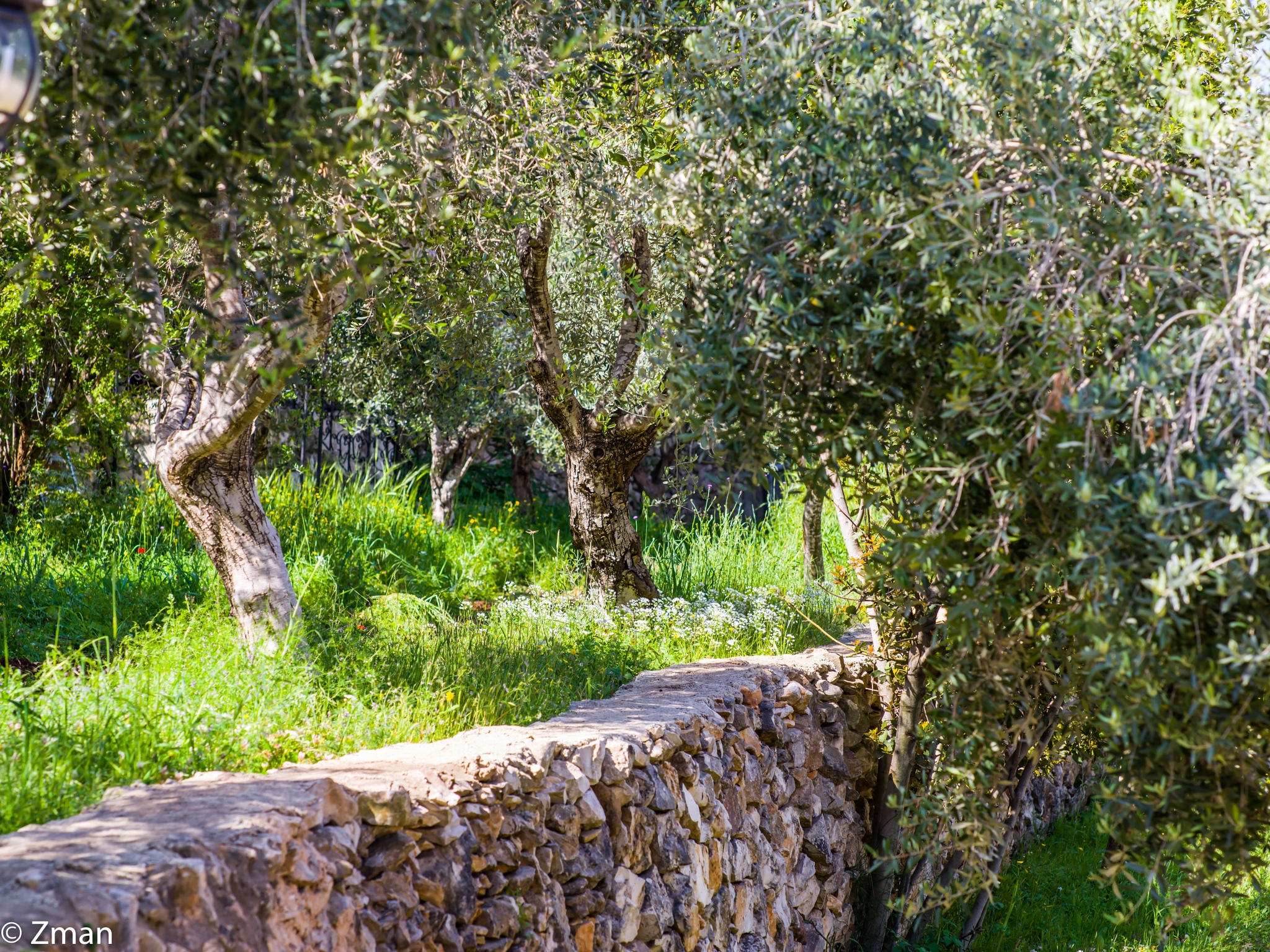 Olive Trees by muhammad.nasser.963