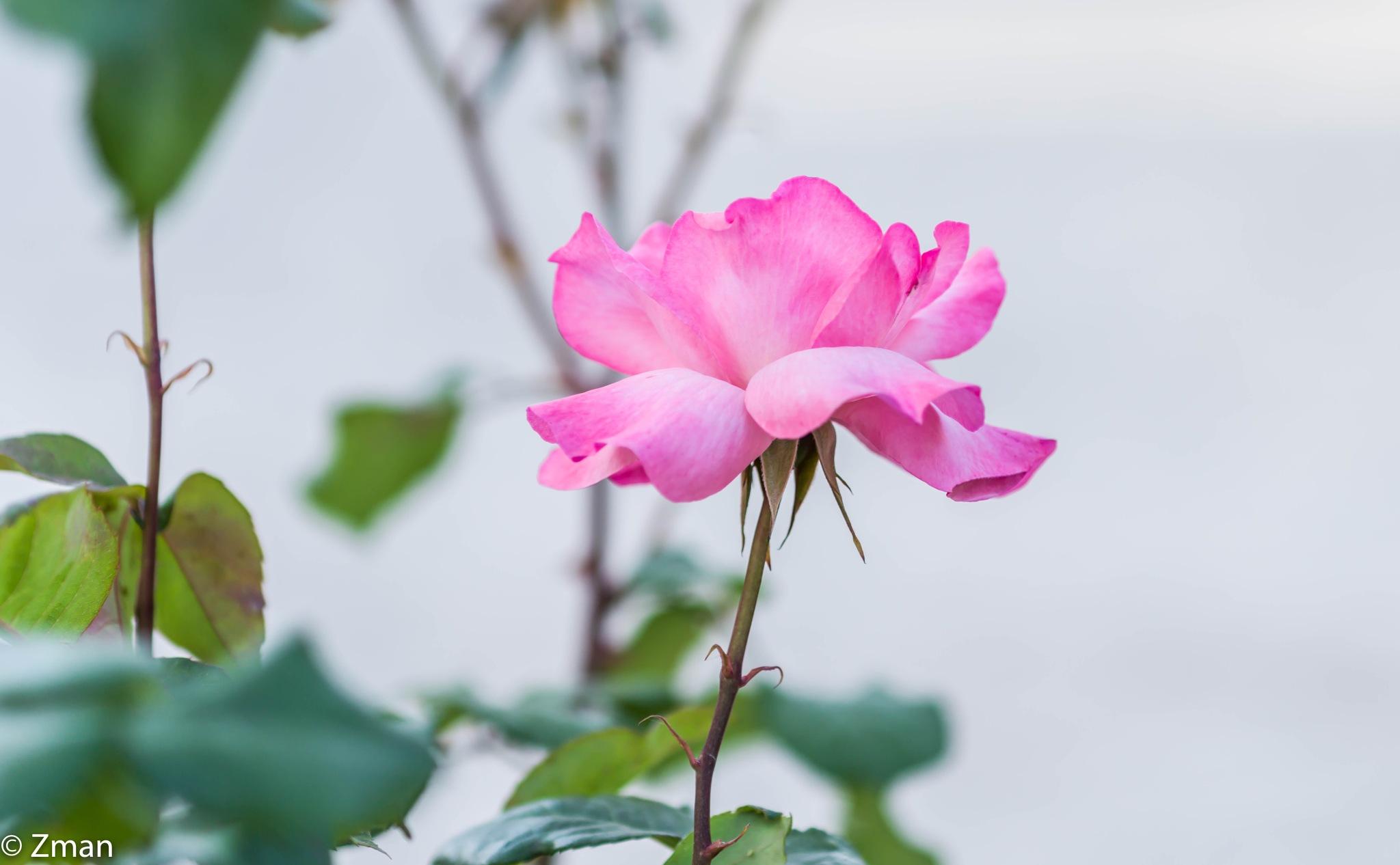 Light Pink Rose by muhammad.nasser.963