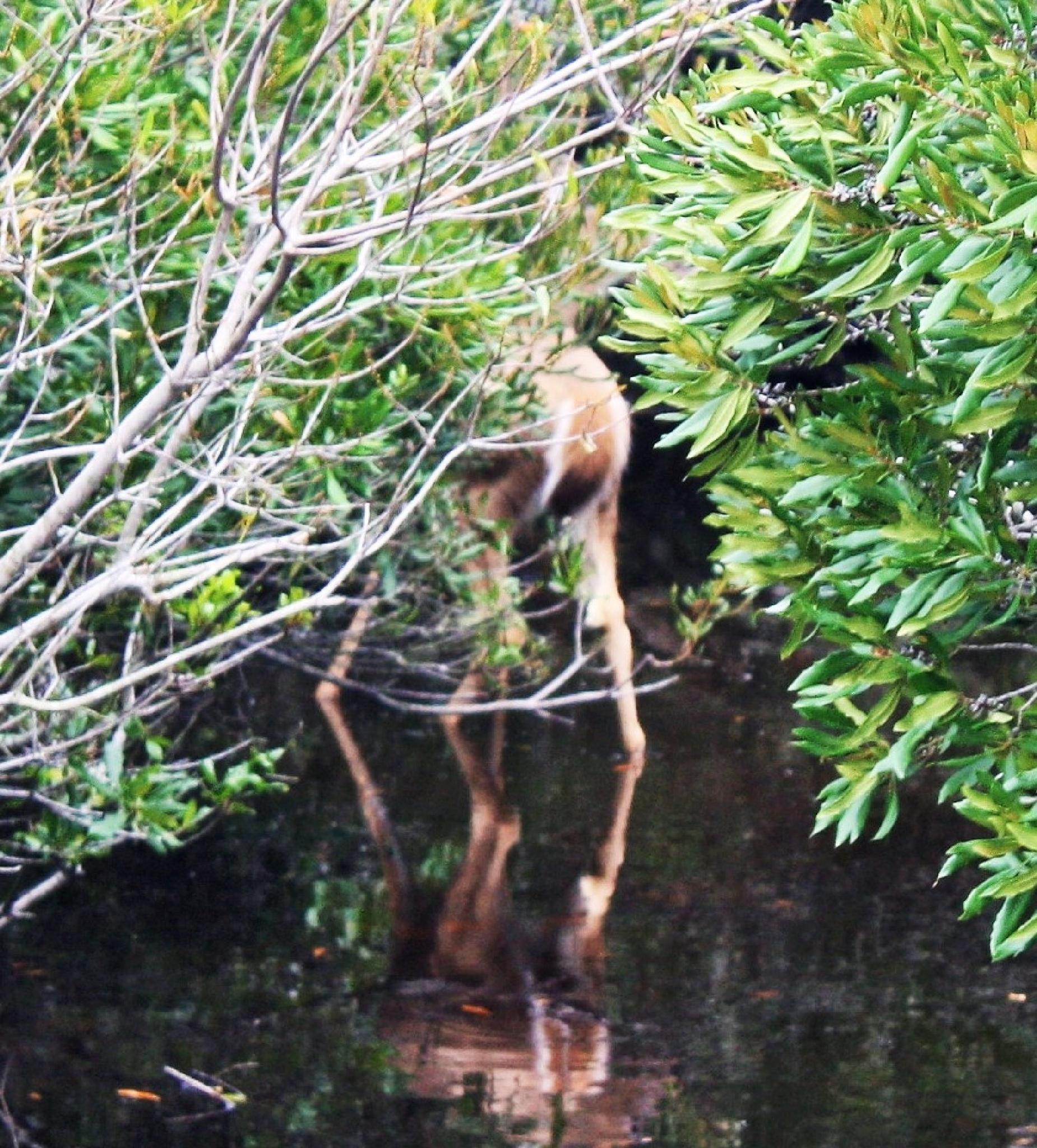 Swamp Deer by joann.kunkle