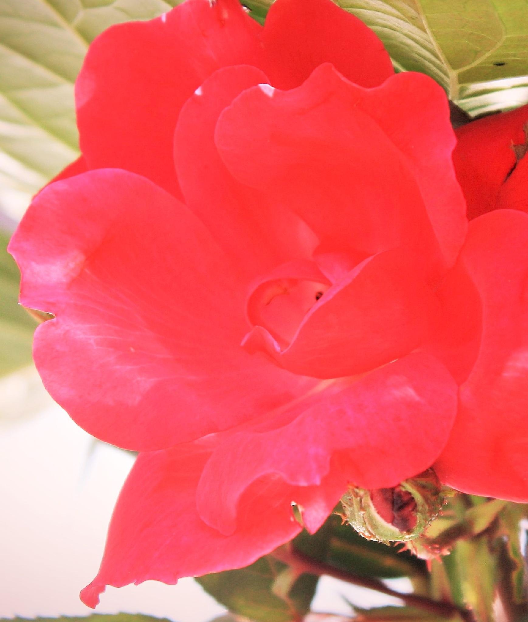 Rose in Sun by joann.kunkle