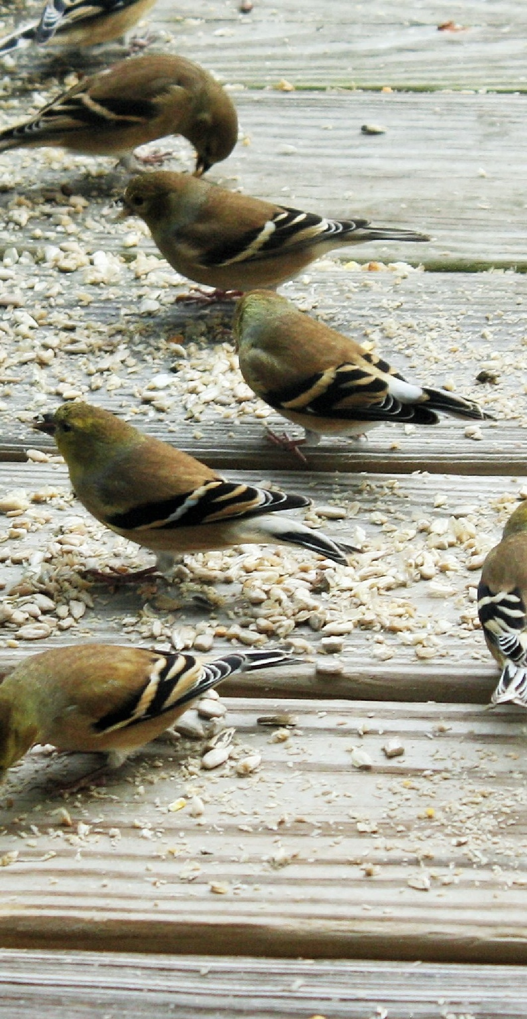 Finches all in a row by joann.kunkle