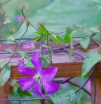 Photo in Nature #vine #summer #clematis #purple #cling
