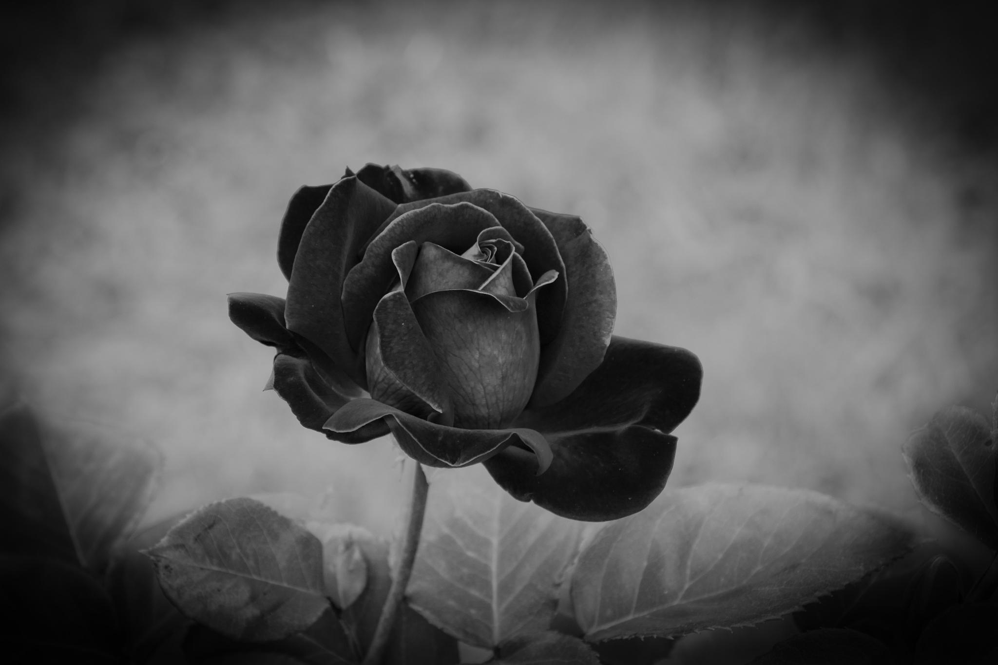 Black rose by Eleonora Ellie Cacciari