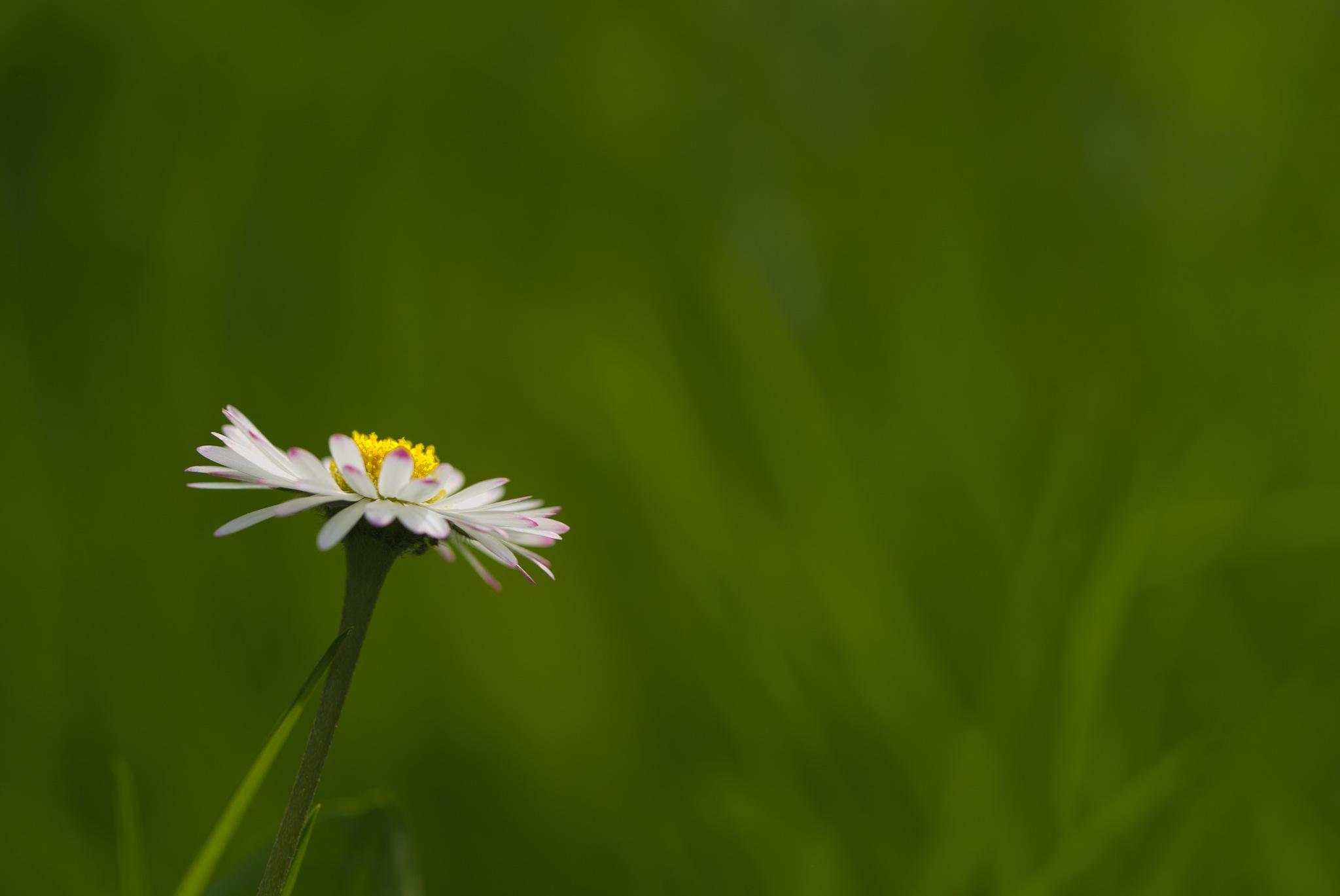 Miss daisy by Jean Michel Segaud