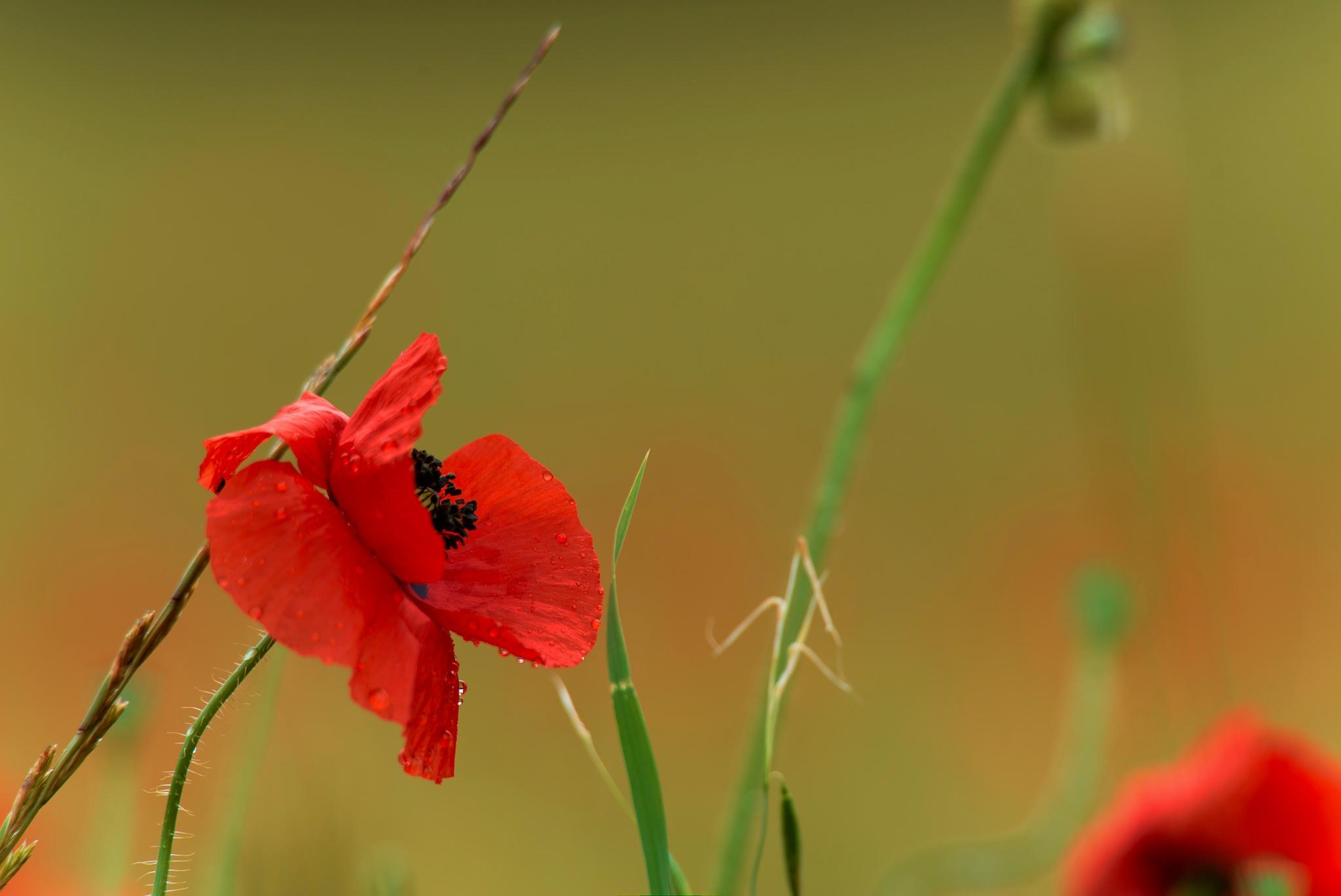 poppy by Jean Michel Segaud