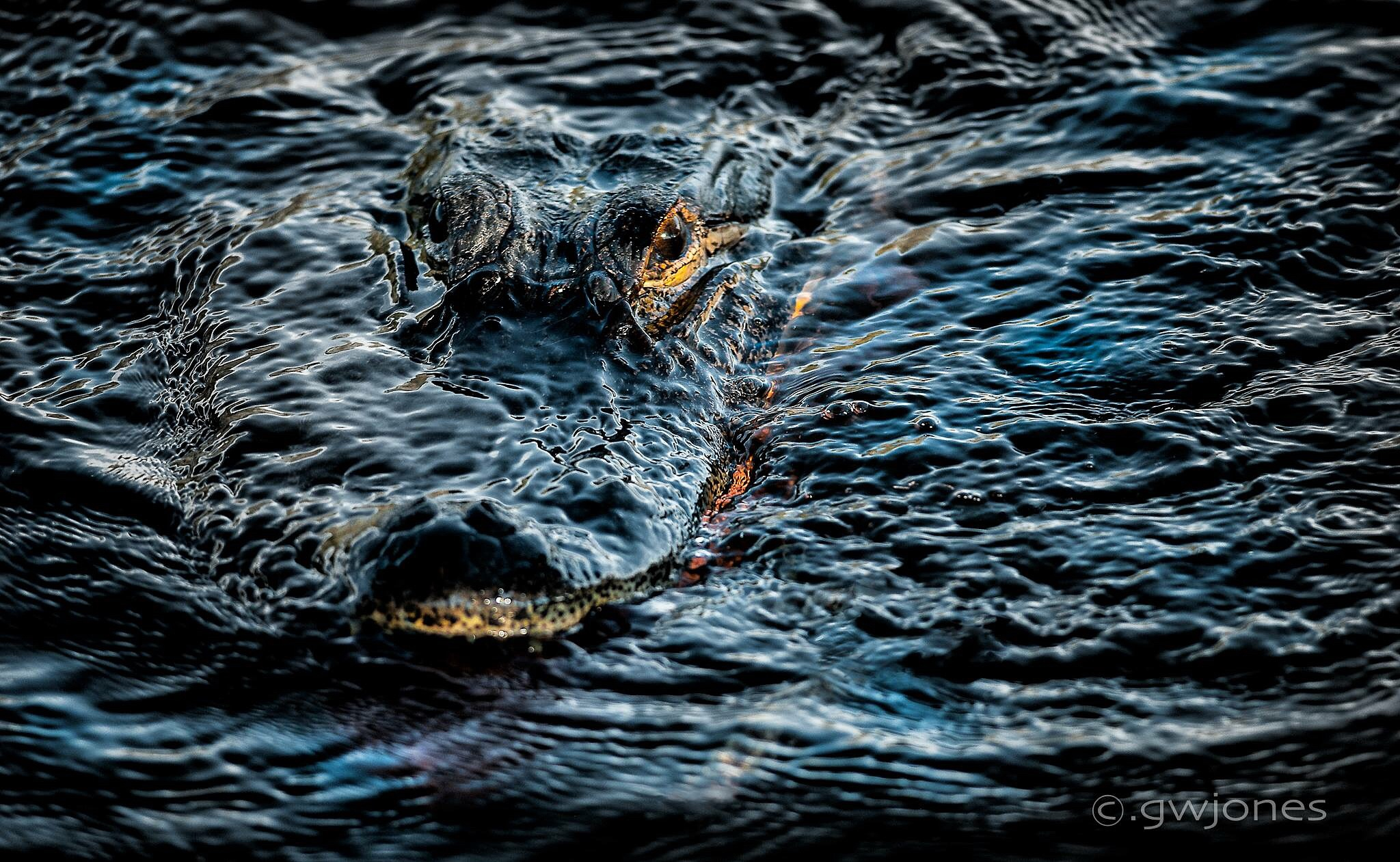 Gator on the St. Johns River by gwjones317