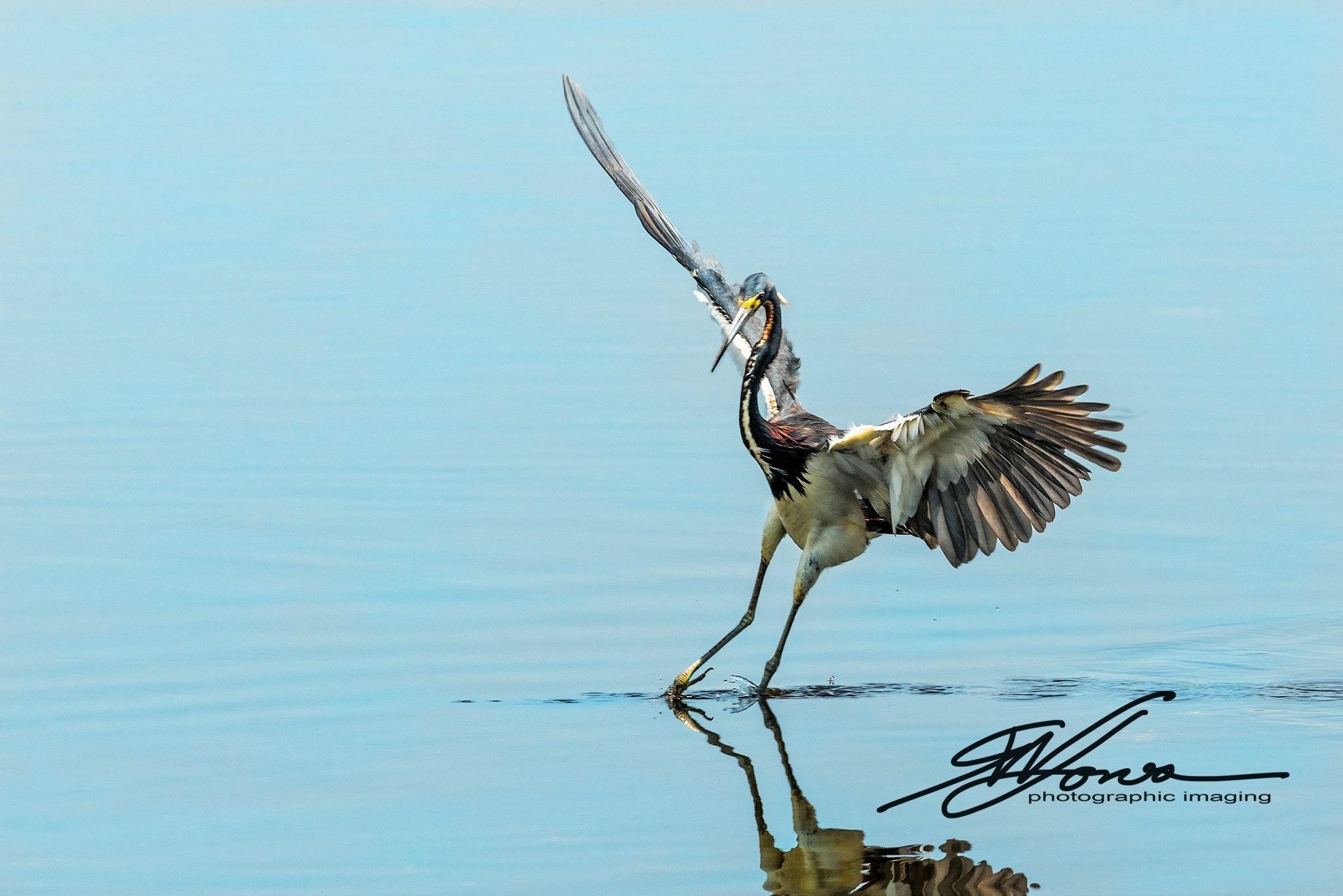 Tricolored Heron by gwjones317