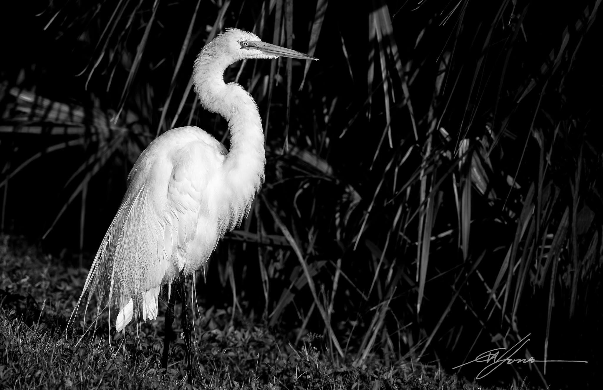 Great Egret at Viera Wetlands  by gwjones317
