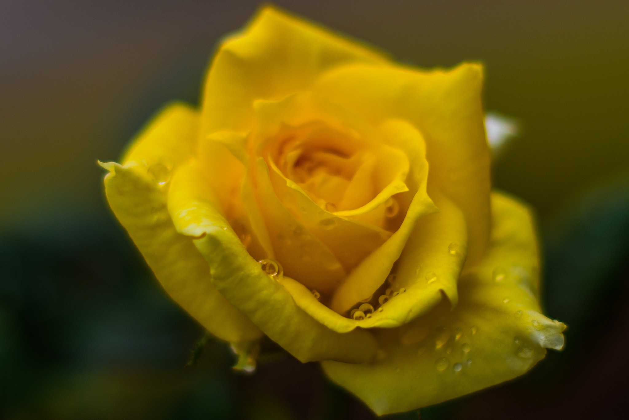 Yellow Rose of Texas by Ed