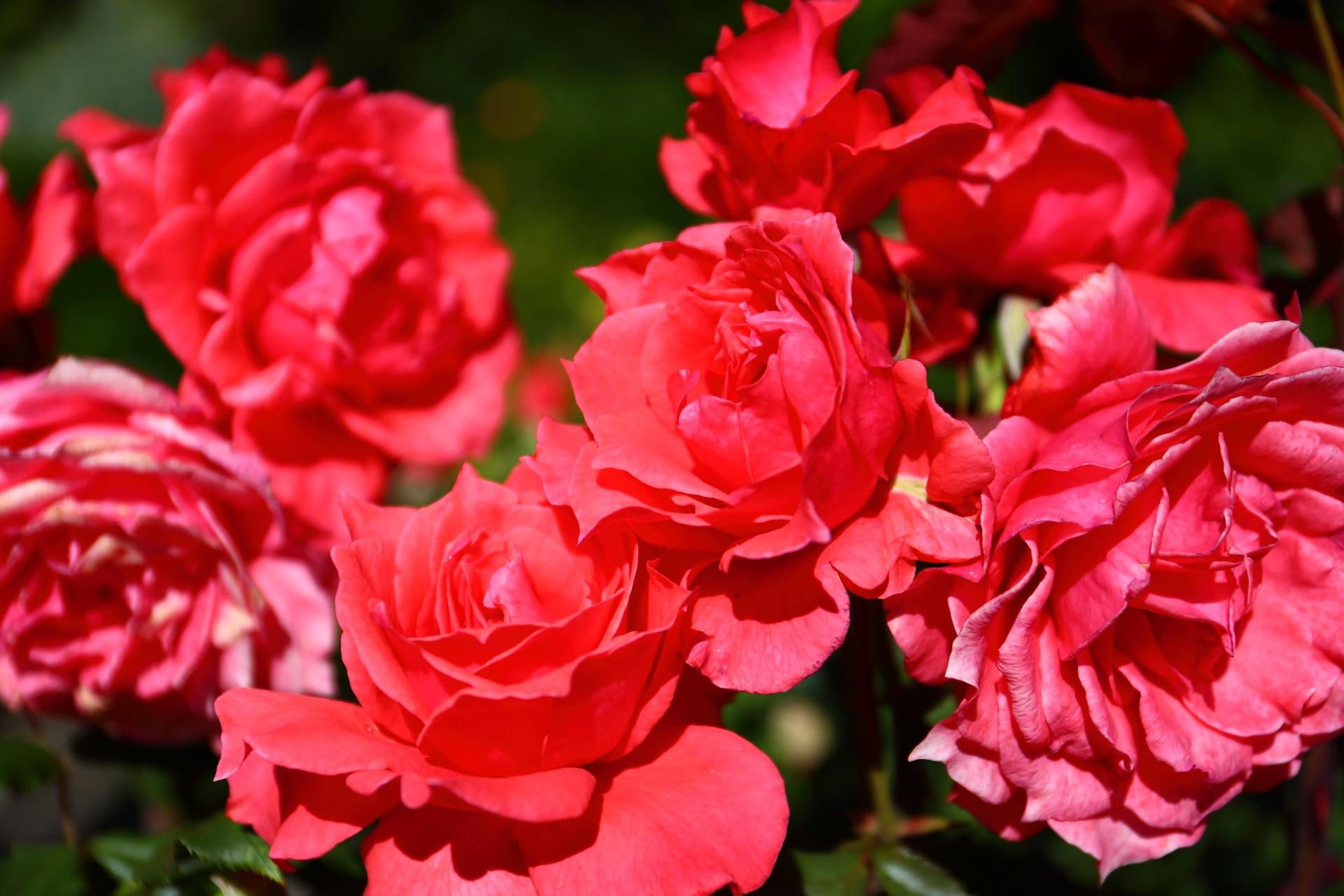 Red Rose by takashi.mizoguchi