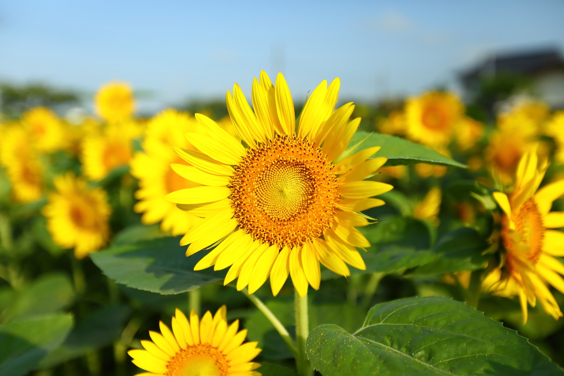 Sunflower by takashi.mizoguchi