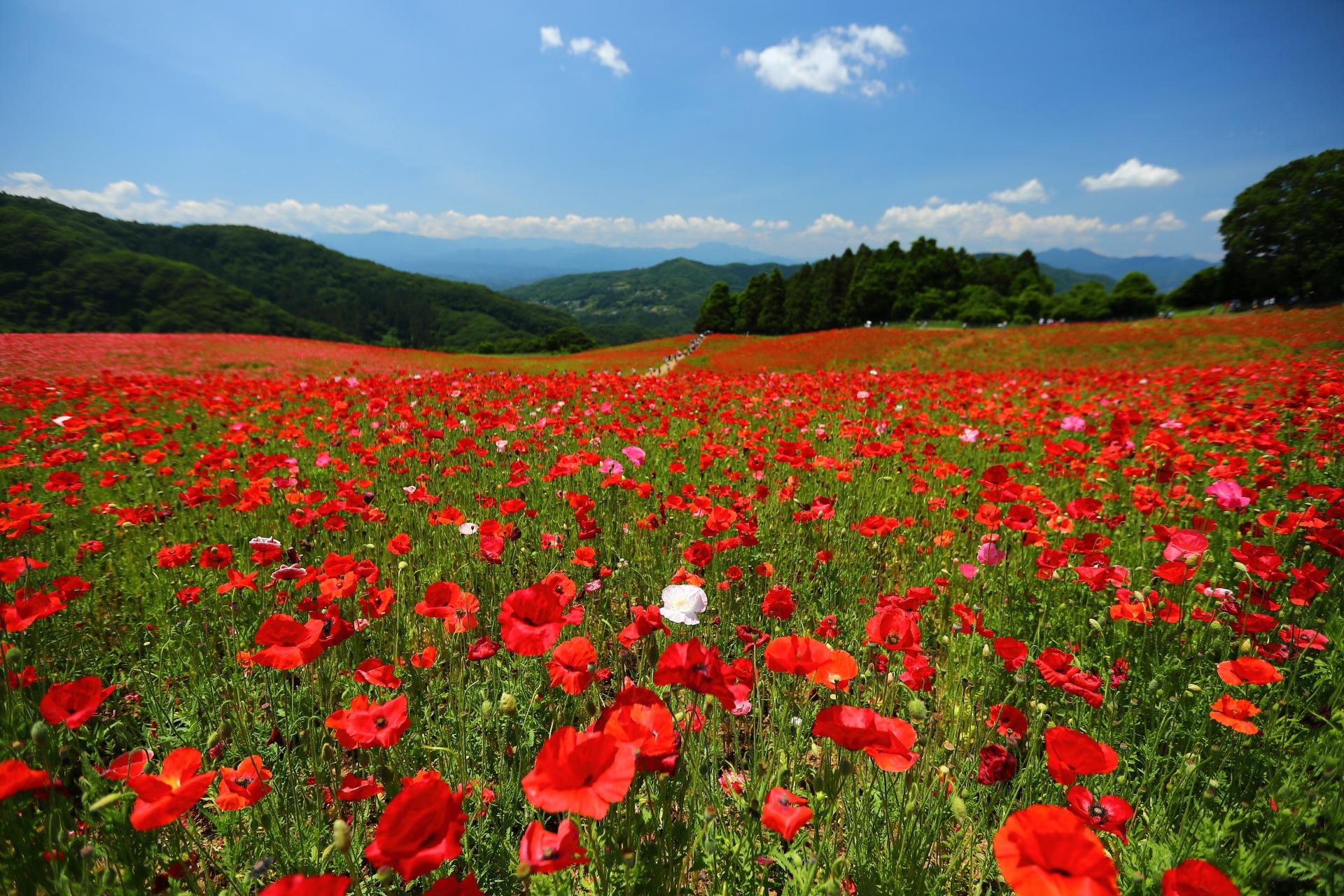 Poppy Landscape by takashi.mizoguchi