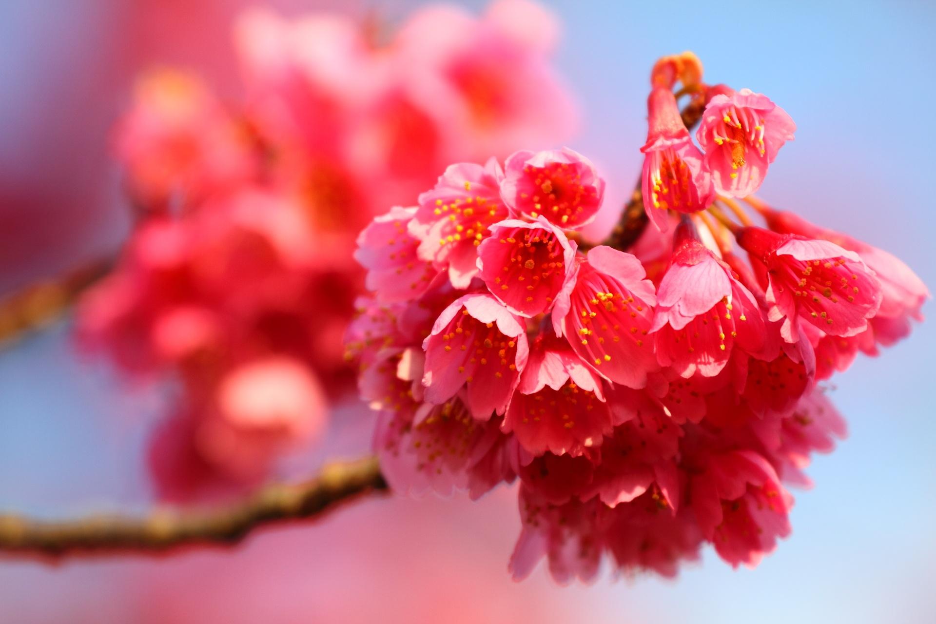 Photo in Nature #kanhi-sakura #cherry blossom #kawagoe #naka-in