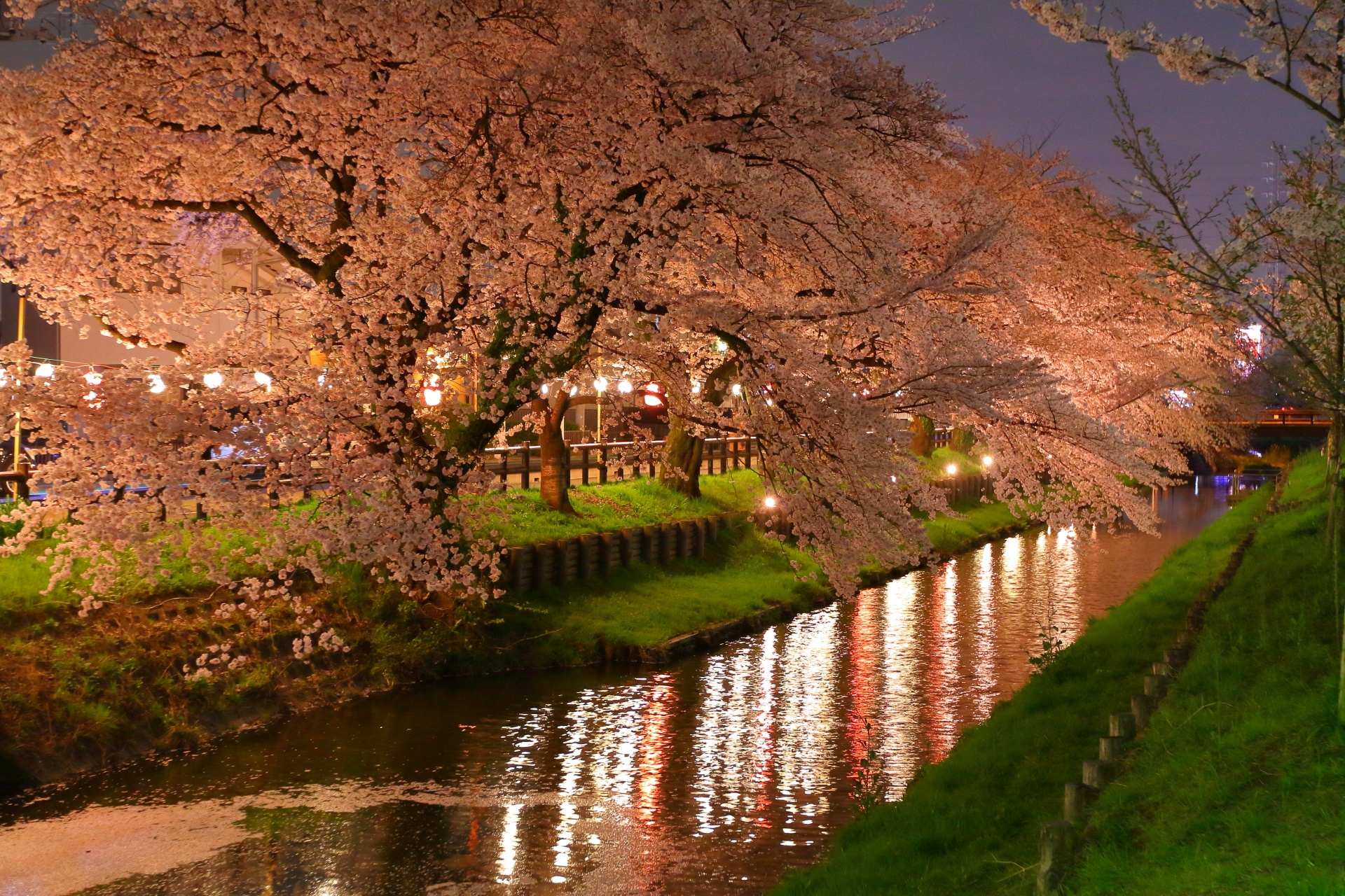 Cherry Blossom in Light by takashi.mizoguchi