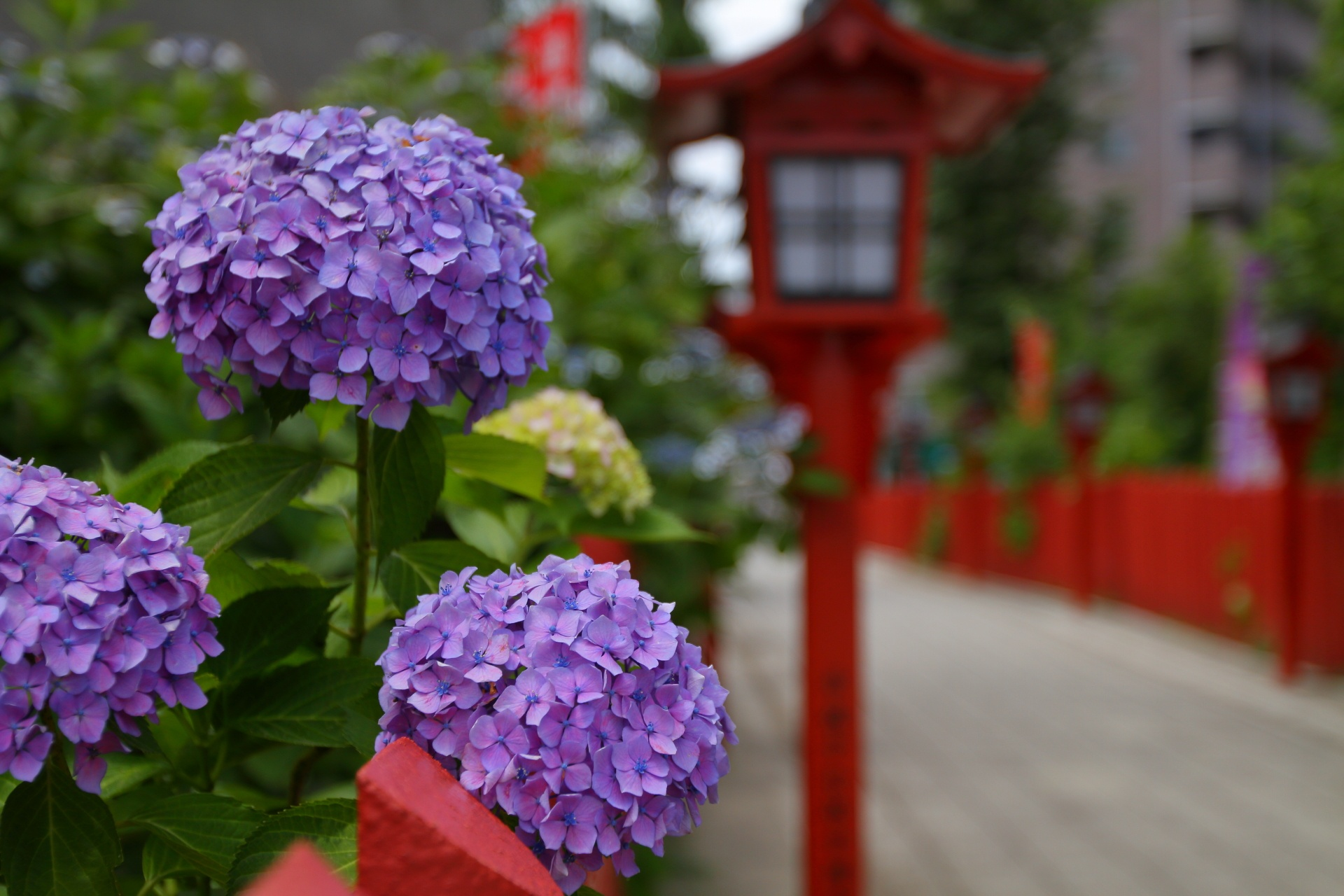 Hydrangea in Sandou by takashi.mizoguchi