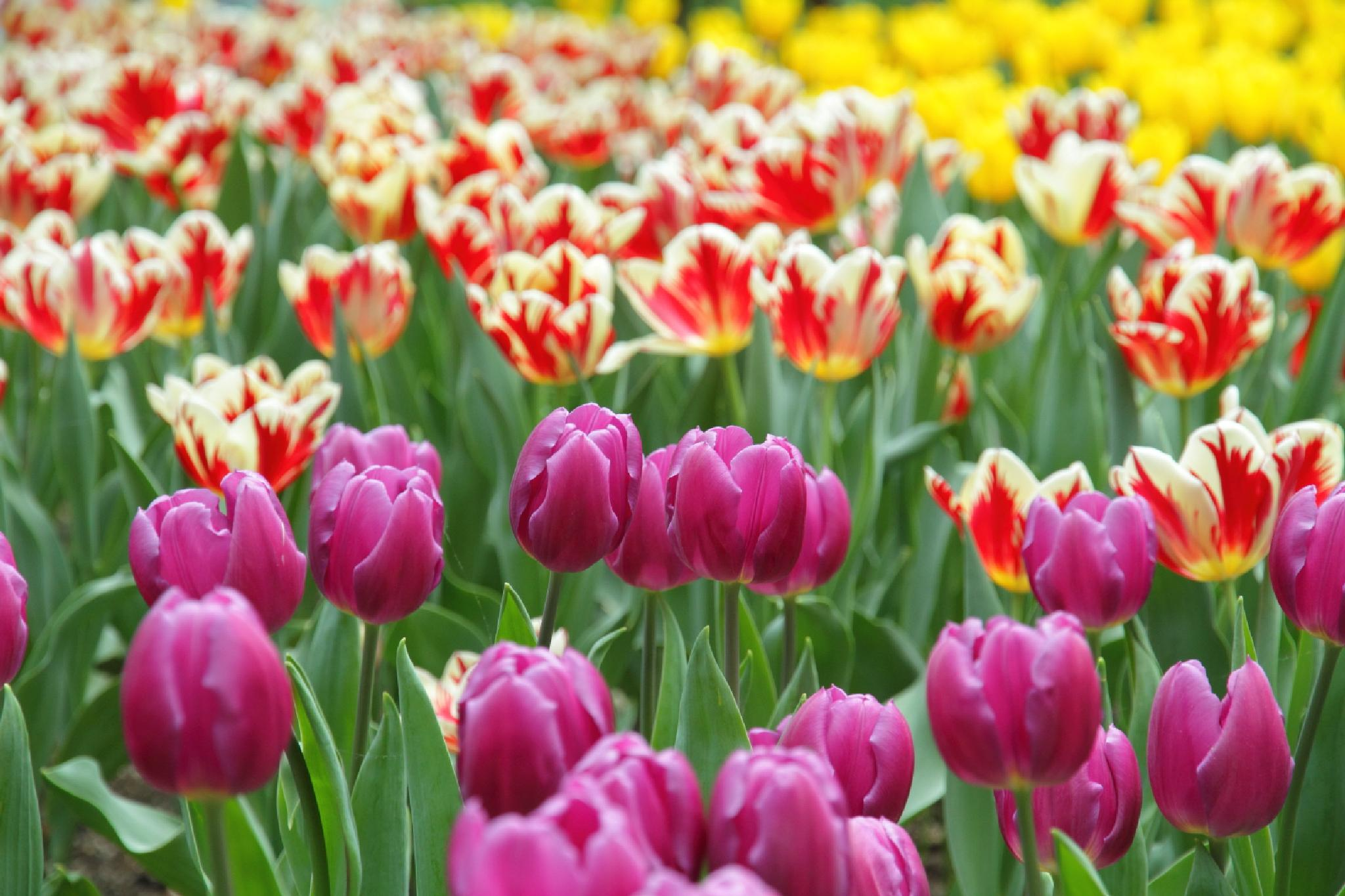 3 Colors of Tulip by takashi.mizoguchi