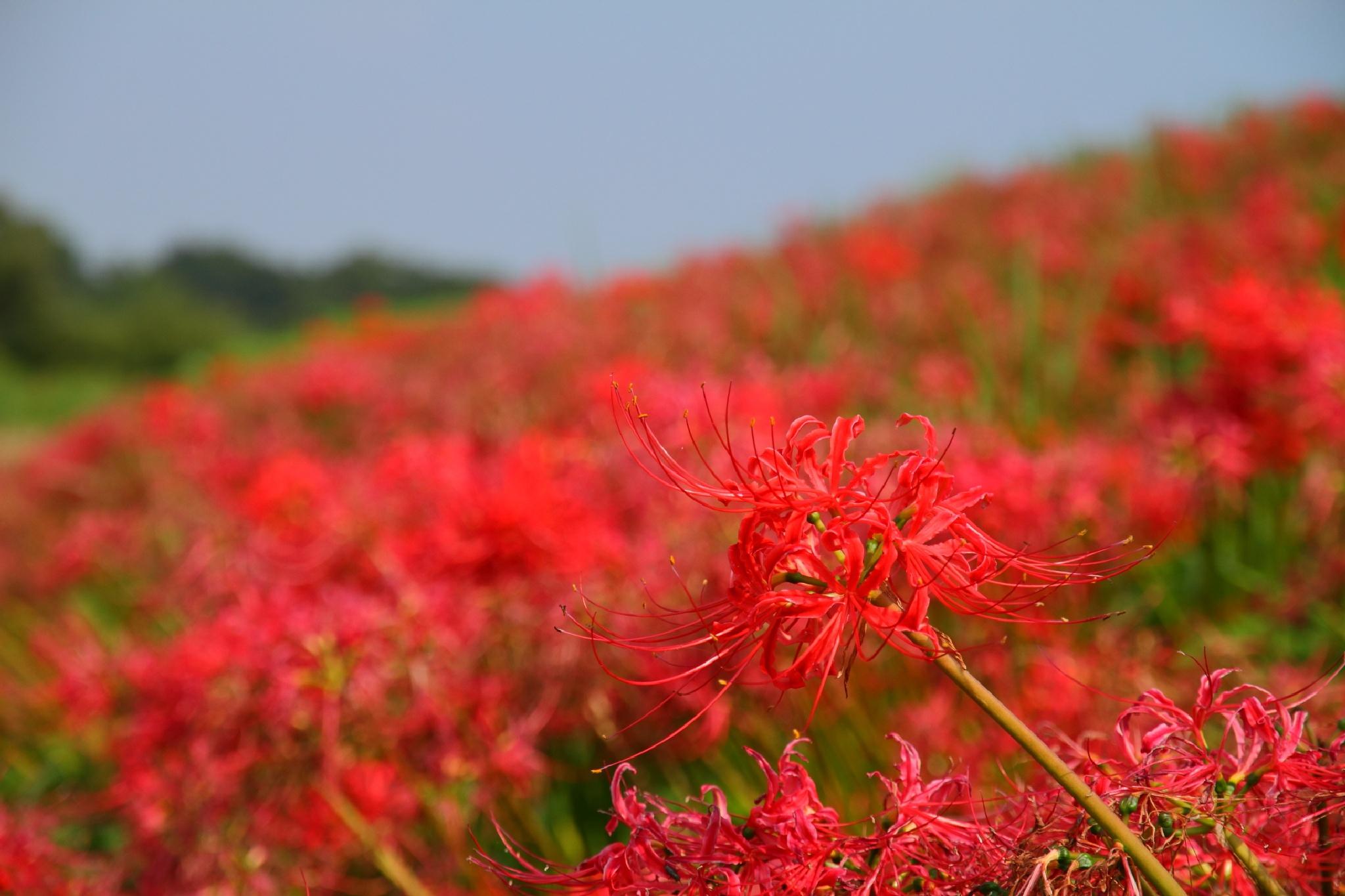 Red Spider Lily in Red by takashi.mizoguchi