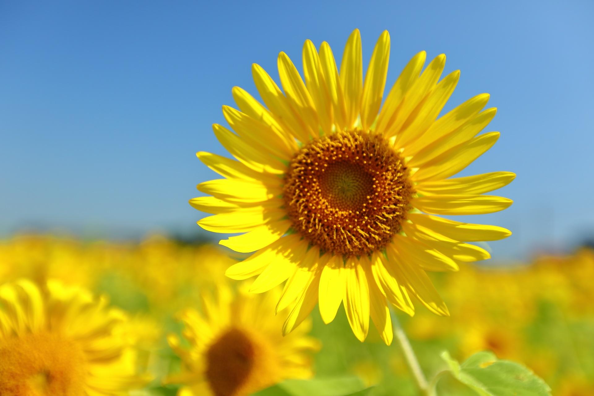 Sunflower Horizon by takashi.mizoguchi