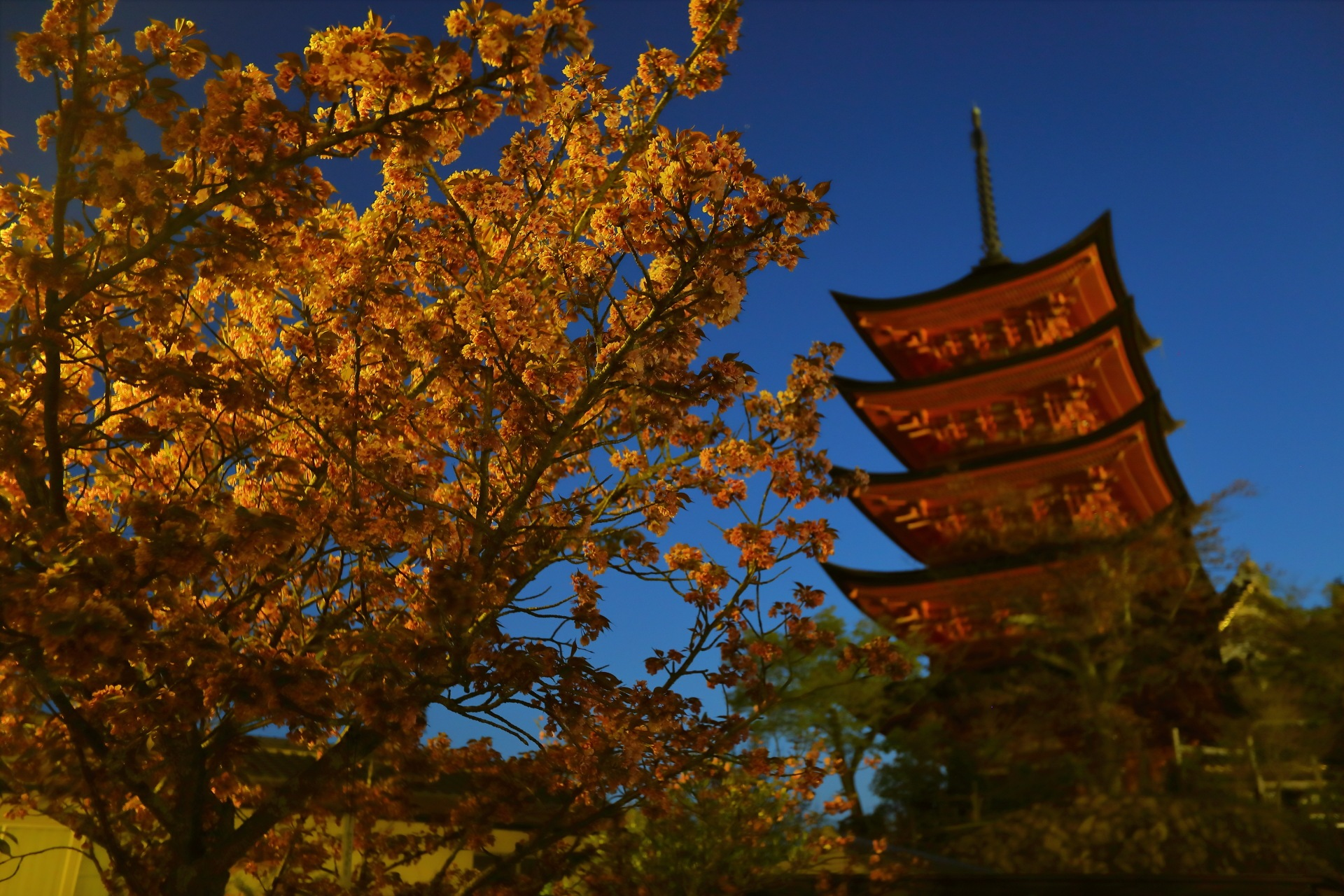 Night View of Sakura and Pagoda by takashi.mizoguchi
