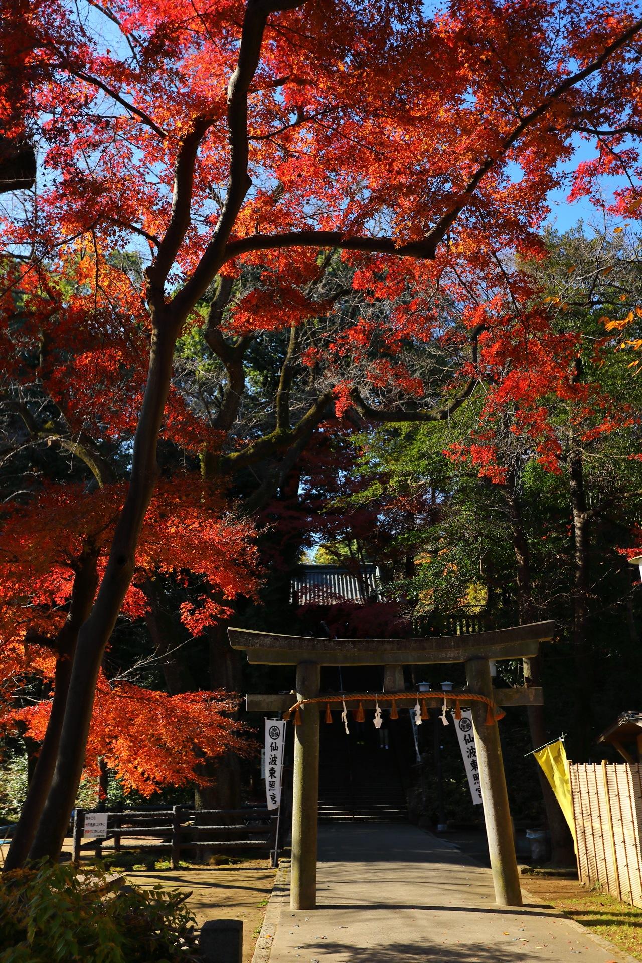 Maple and Torii by takashi.mizoguchi