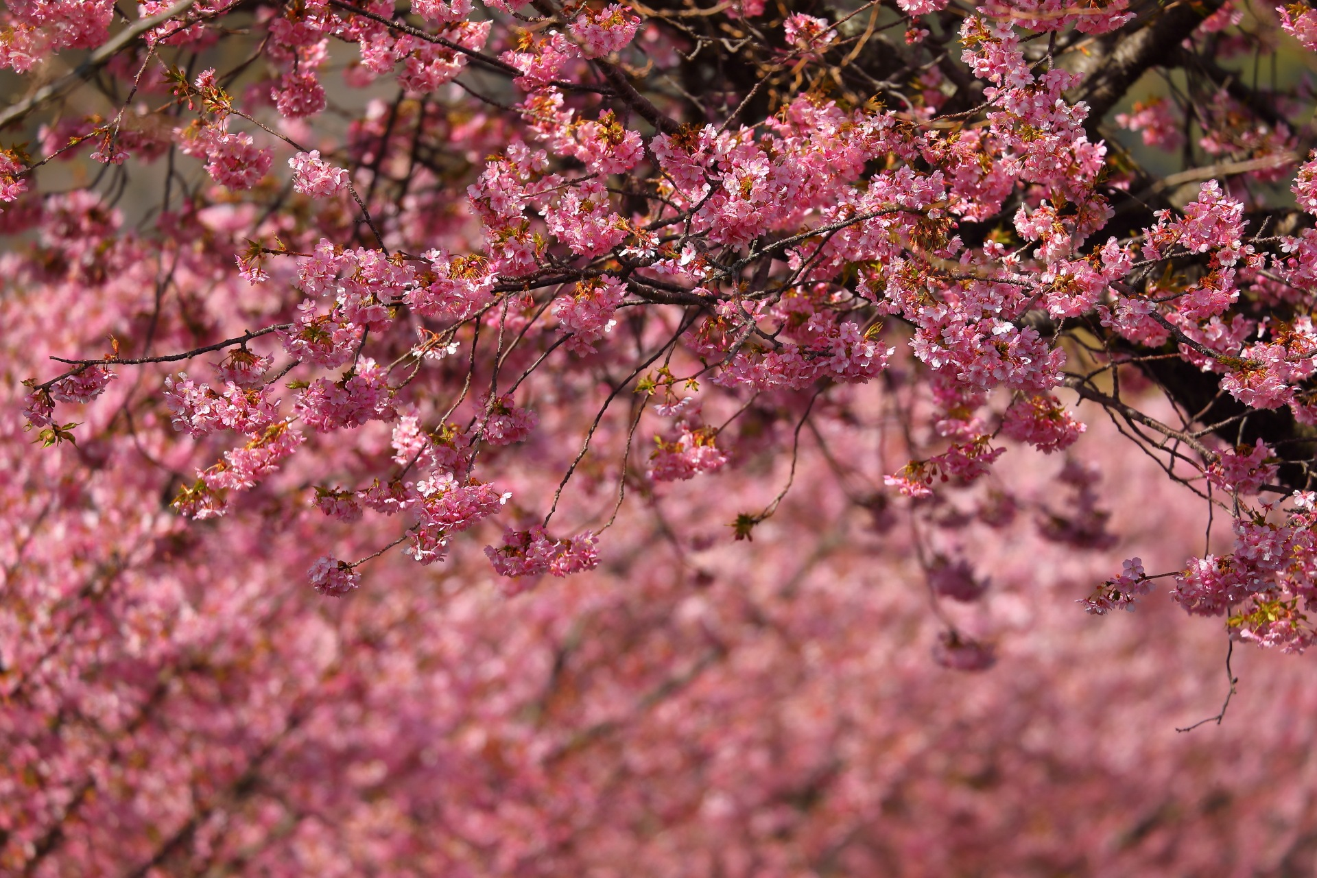 Under the Sakura by takashi.mizoguchi