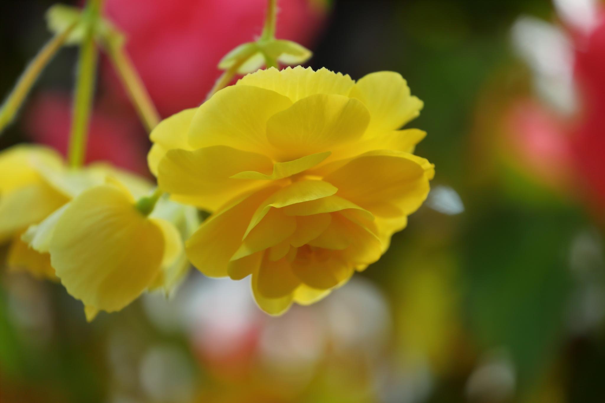 Suspended Begonia by takashi.mizoguchi