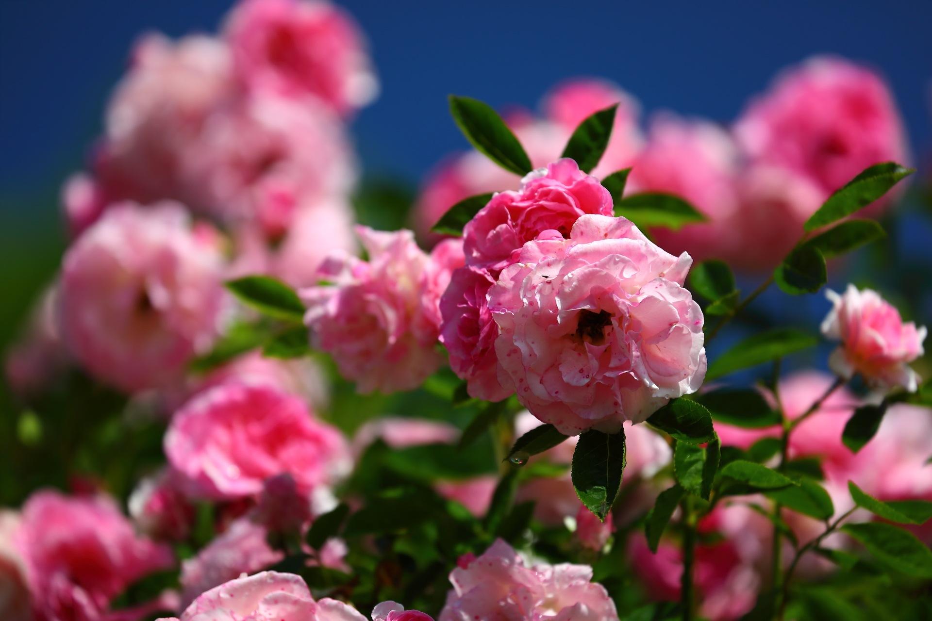 Deep and Light Pink by takashi.mizoguchi