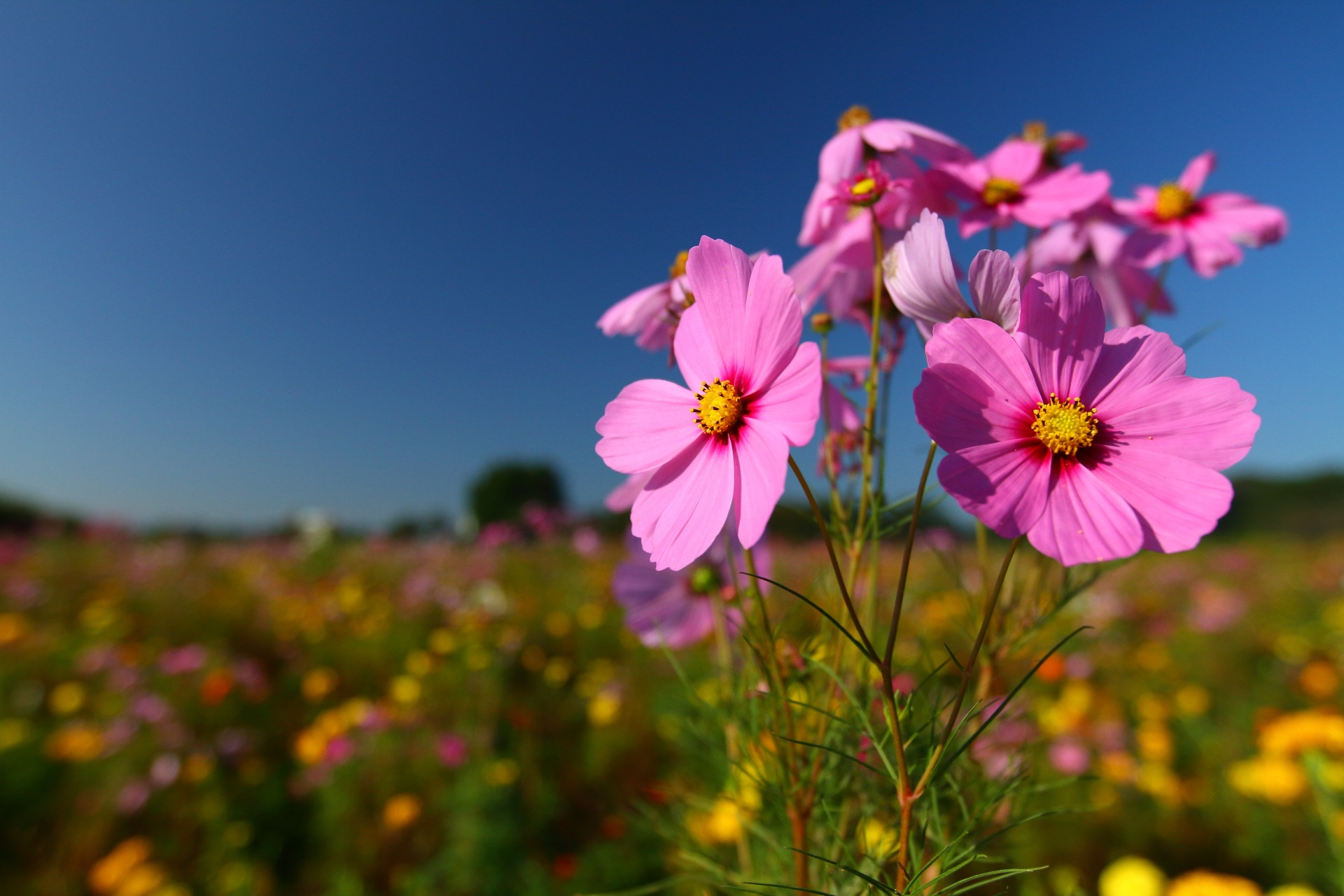 Cosmos in the Blue Sky by takashi.mizoguchi