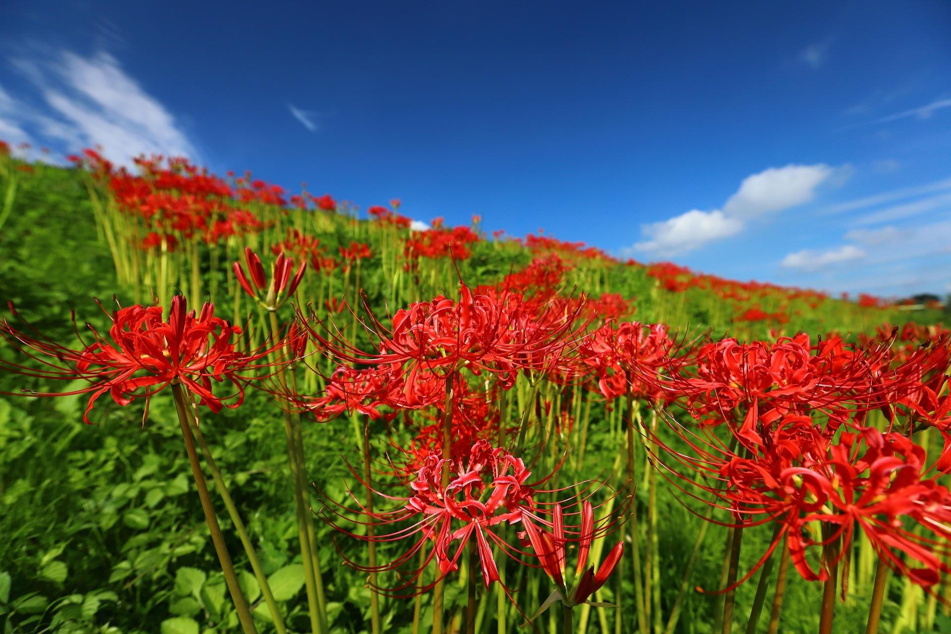 Sky, Bank, Red Spider Lily by takashi.mizoguchi