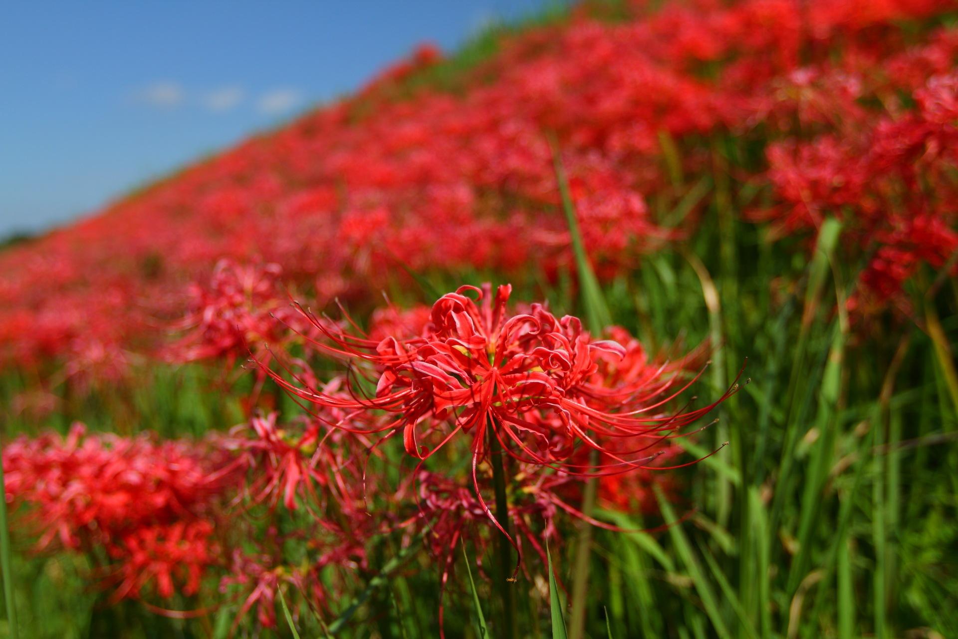 Red Spider Lily by takashi.mizoguchi