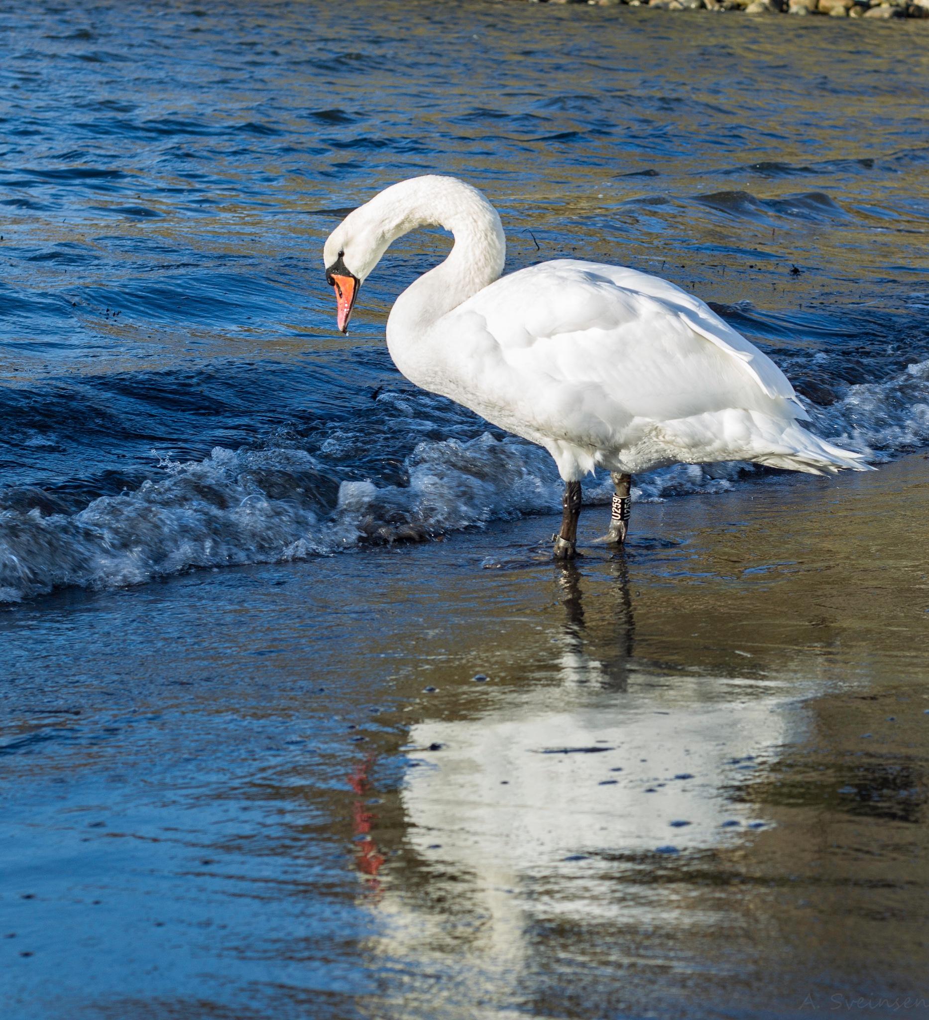 Swan mirror by sveinsen
