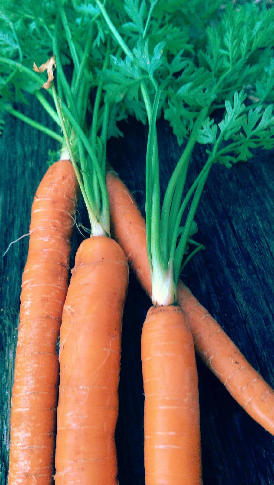 FRESH PICKED CARROTS by roz.keimig