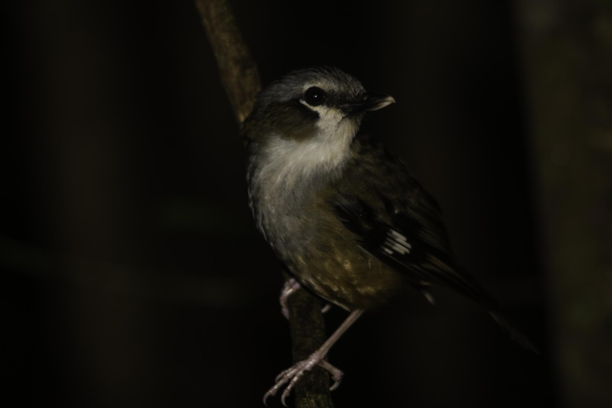 Grey-headed Robin by Will Watson