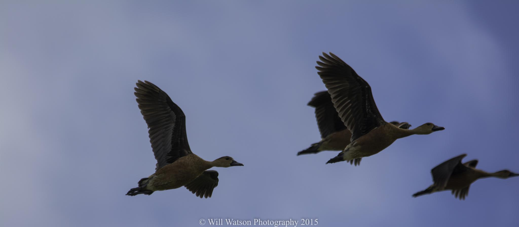 Wandering Whistling-Duck by Will Watson