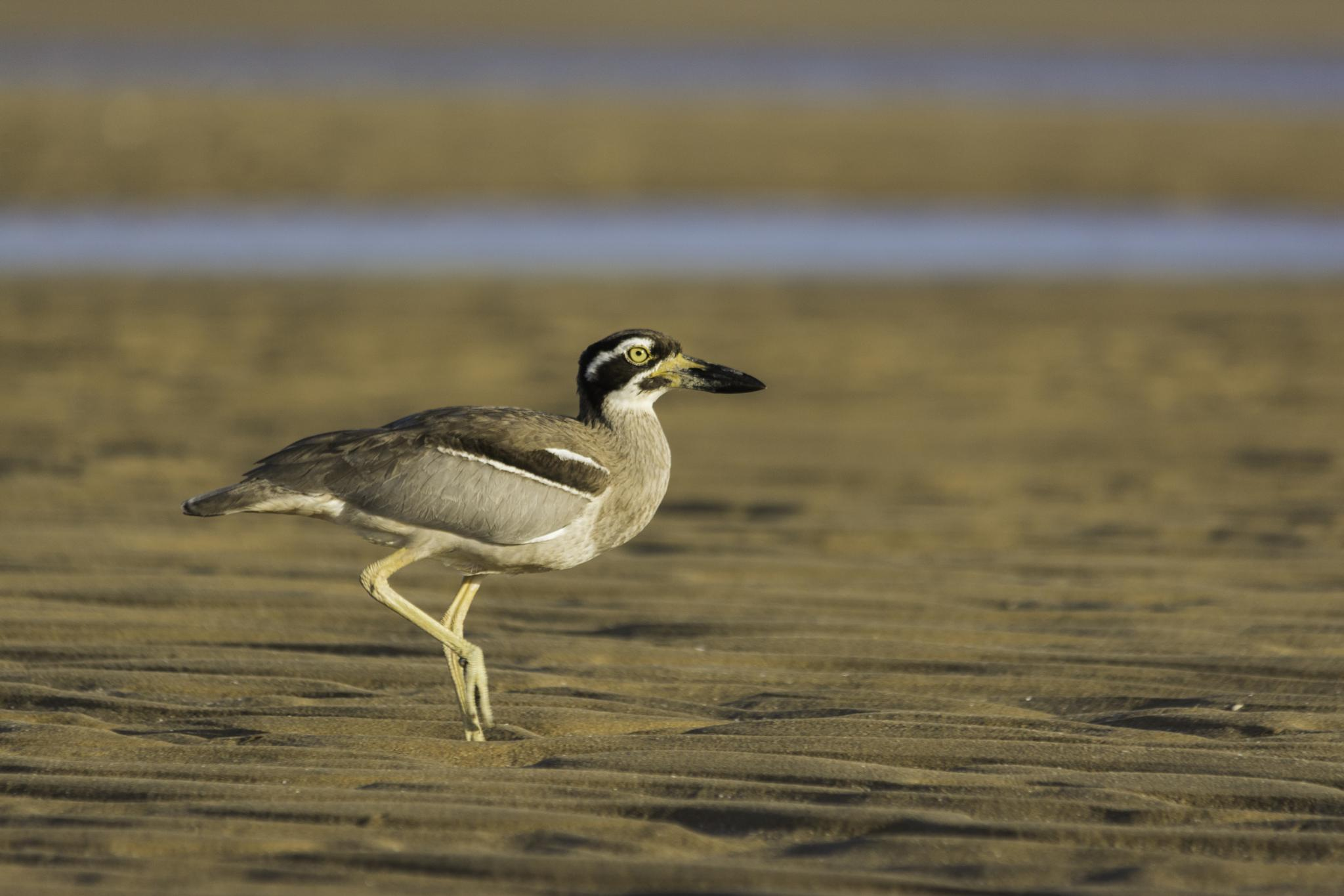 Beach Stone-Curlew by Will Watson