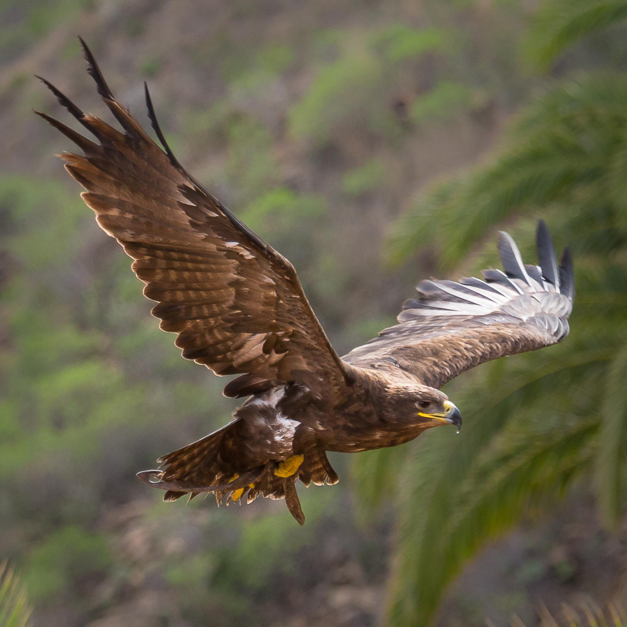 Hawk by Christian Stenström
