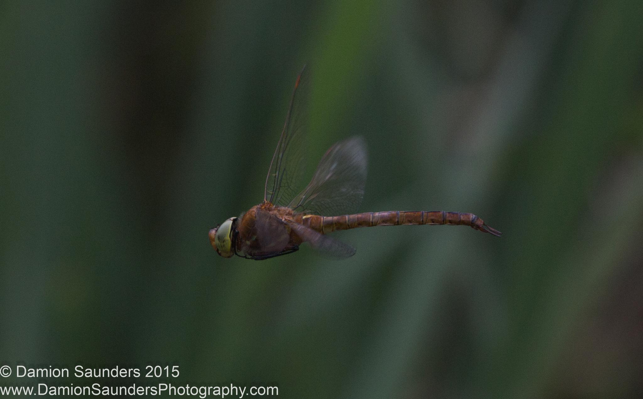 DragonFly in Flight by Damion Saunders