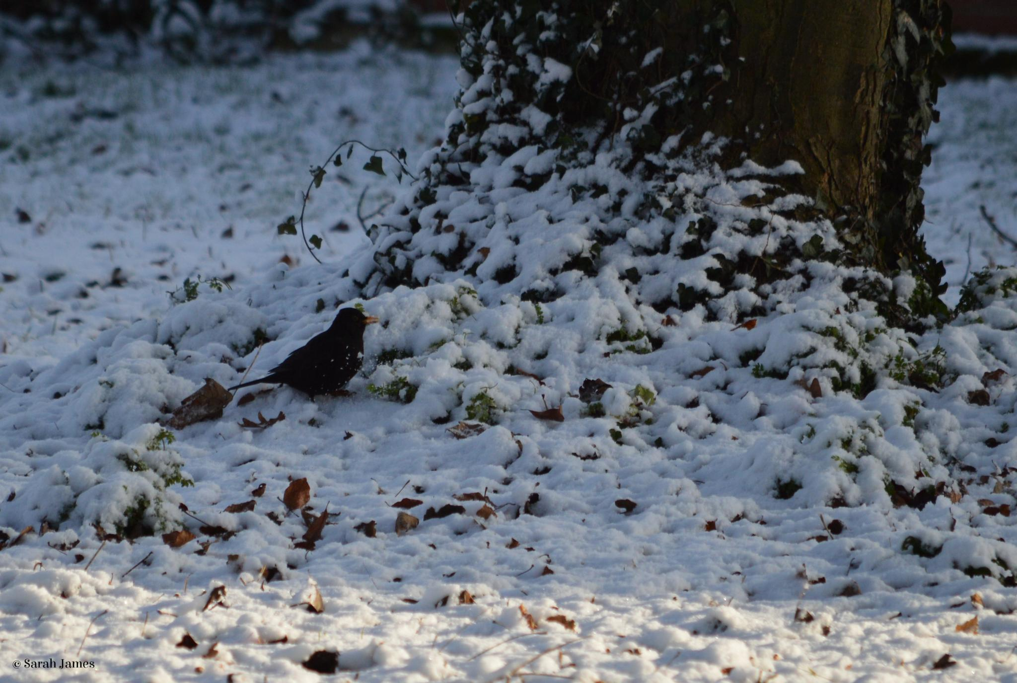 Blackbird in the snow by Sarah James