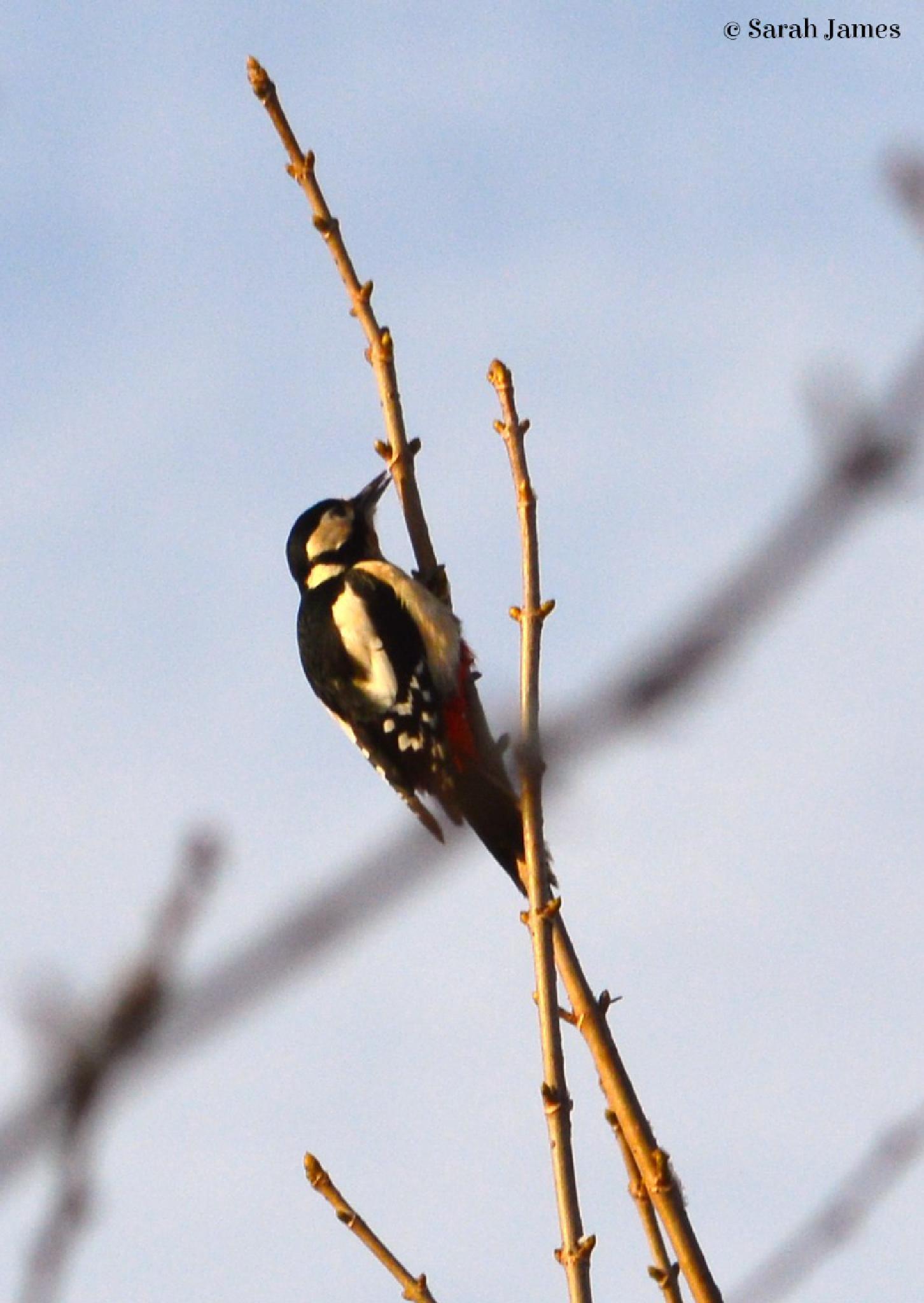 Woodpecker by Sarah James
